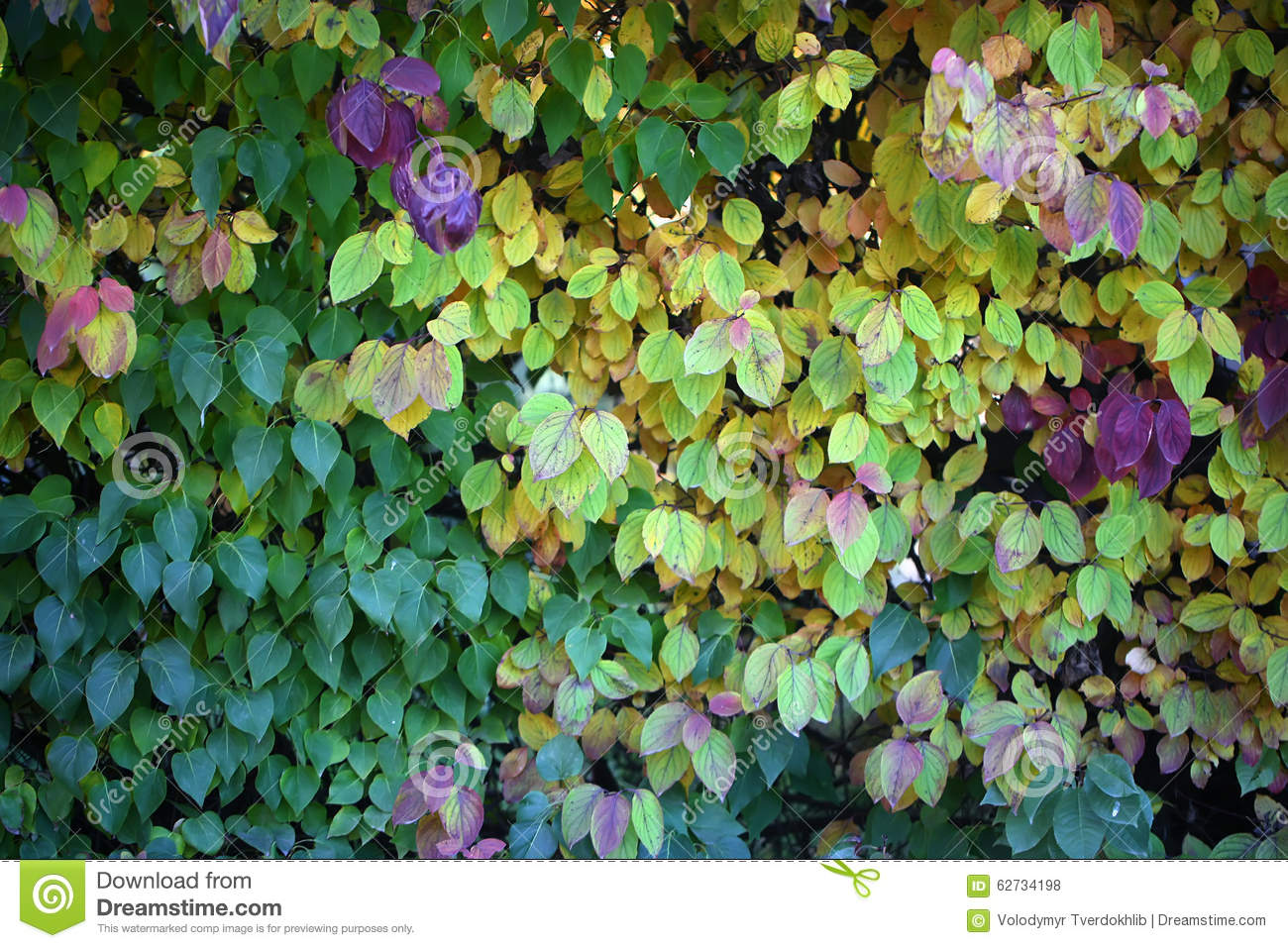 Hedge With Leaves Changing Color Stock Photo - Image of grove, lush ...