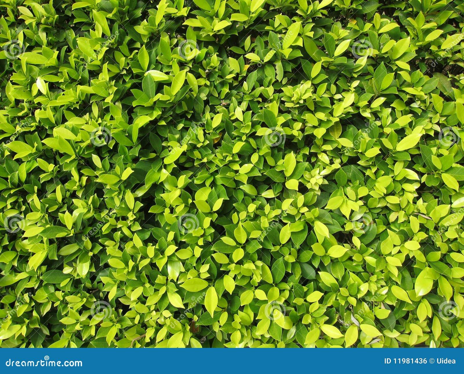 Hedge plants stock photo image of gardening gardener - Plantas para hacer setos ...