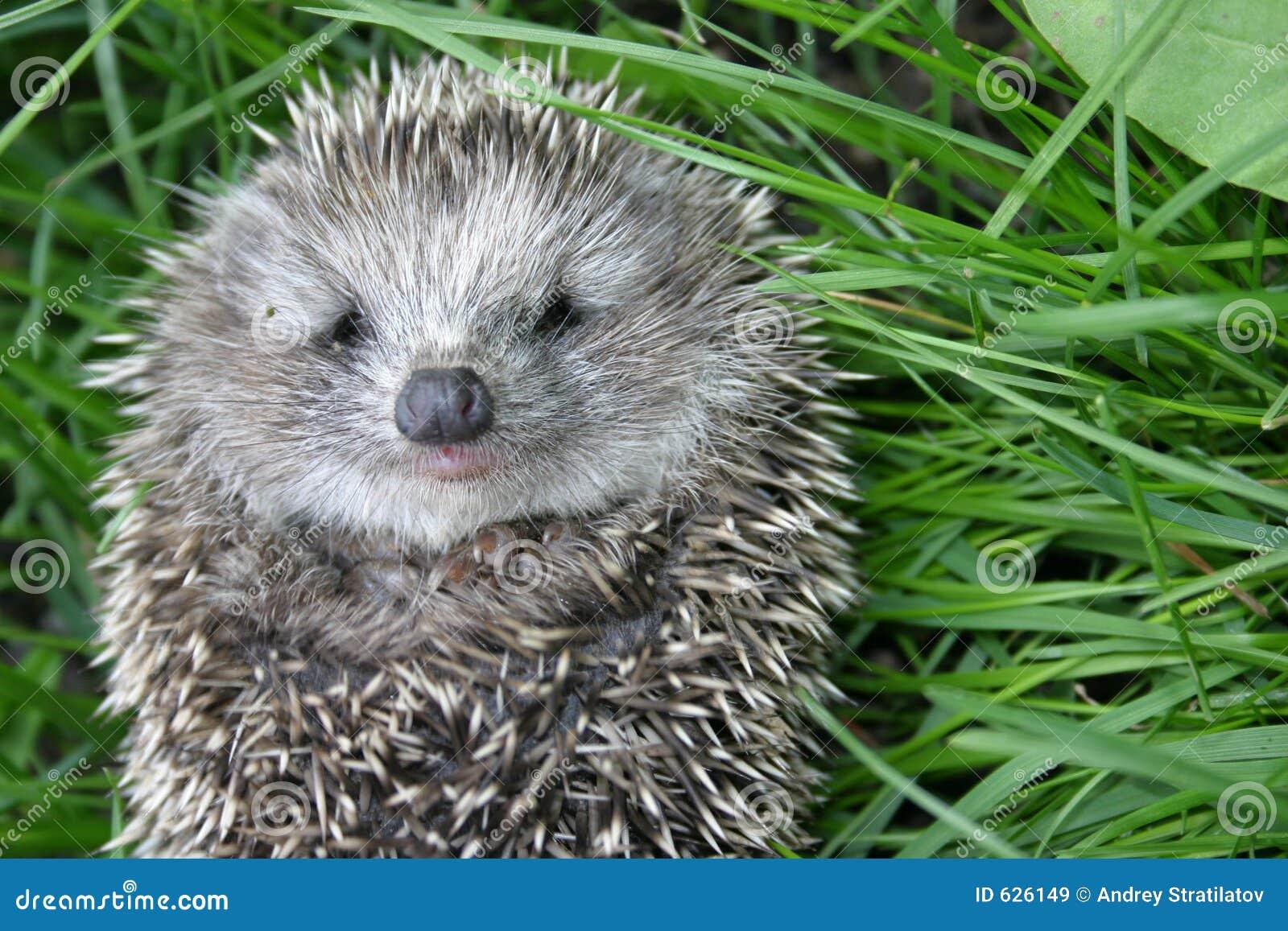 Download Hedgehog малый стоковое изображение. изображение насчитывающей мальчишка - 626149