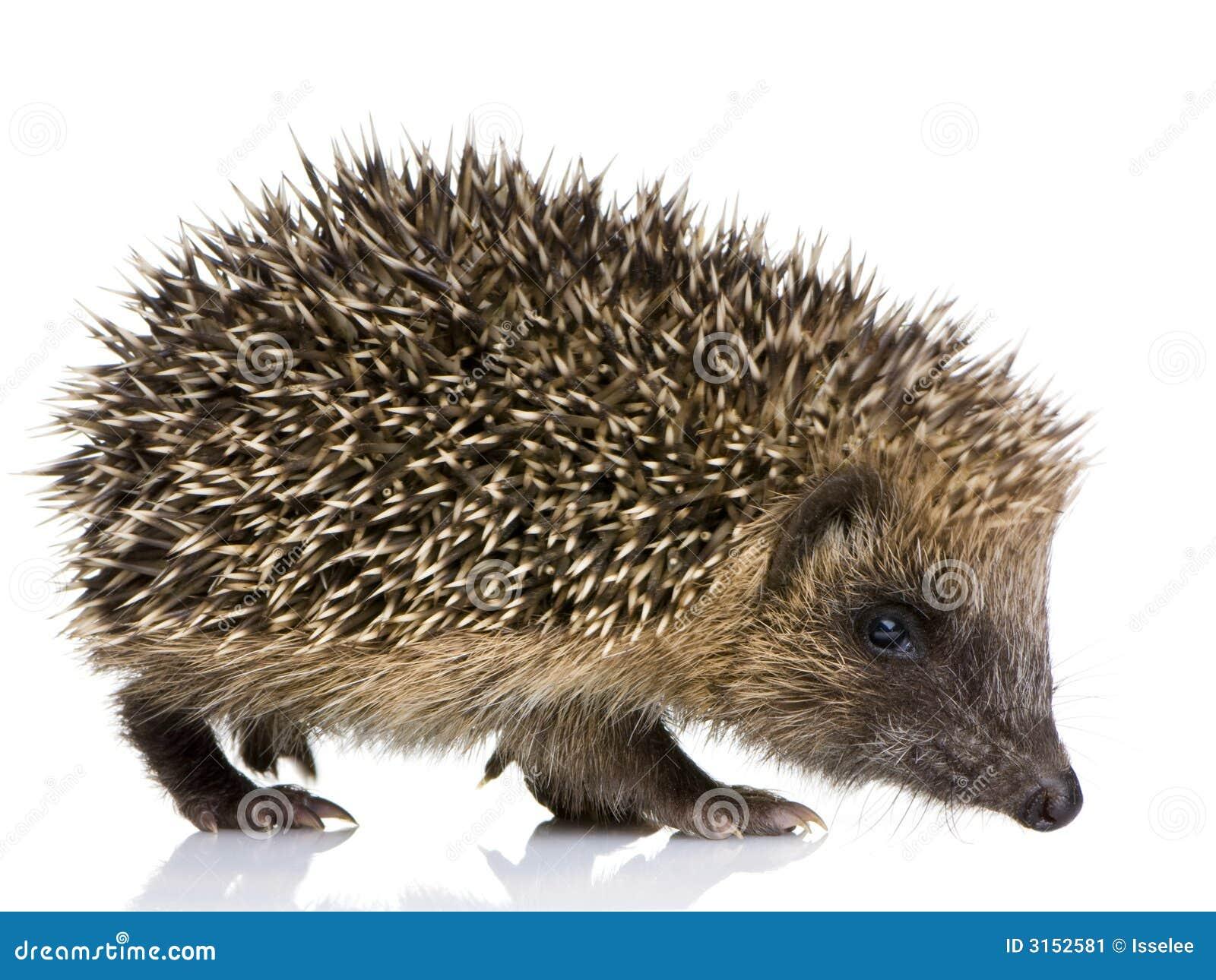 Hedgehog (1 months)