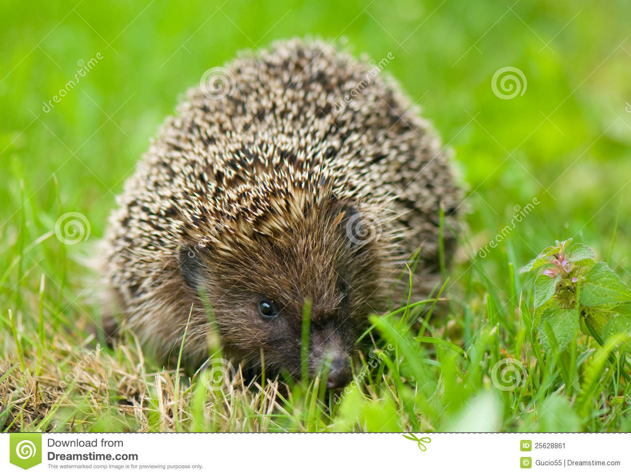 Hedgehog - Erinaceus europaeus - sympathetic, spiny hedgehog.