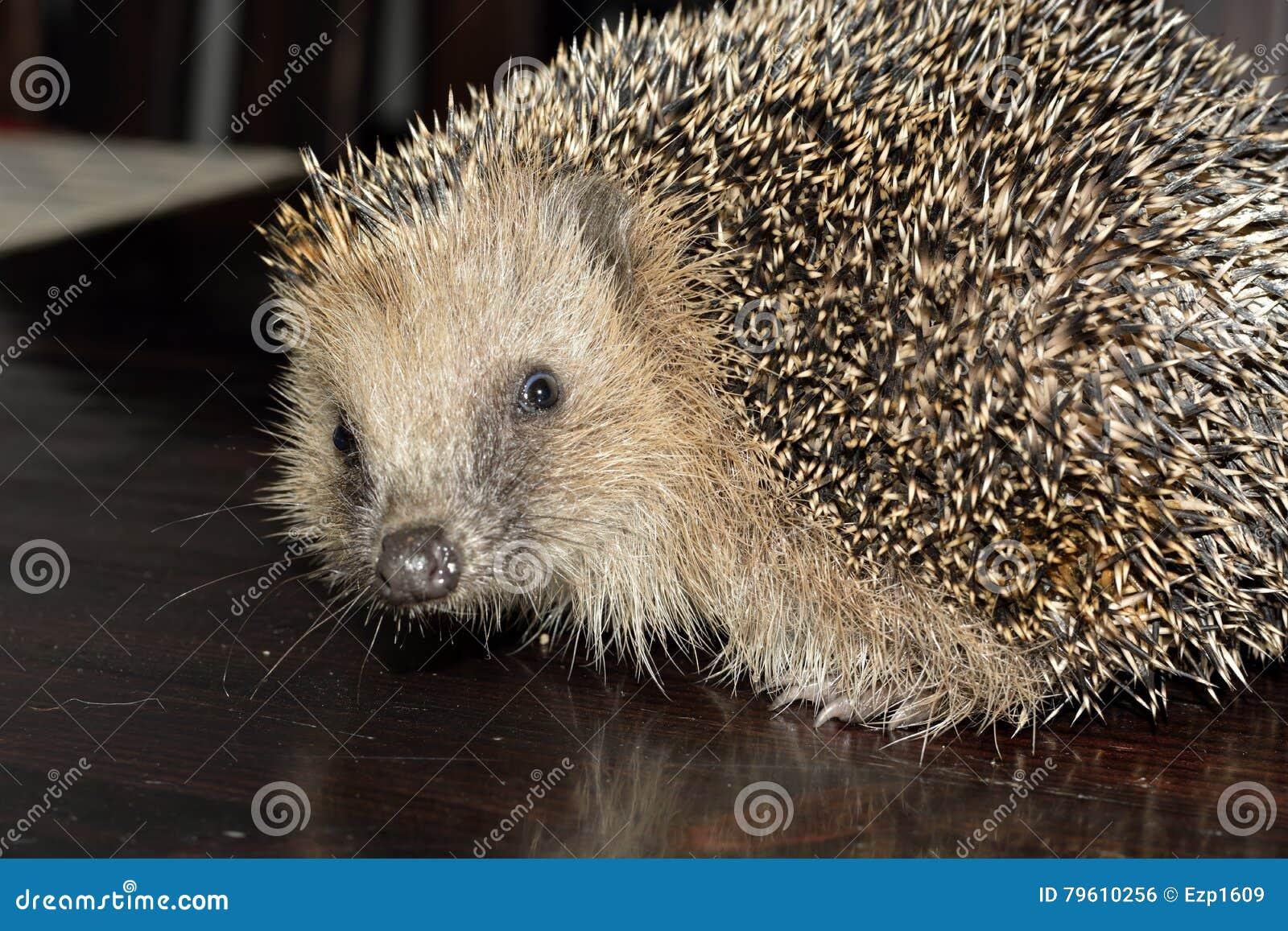 Hedgehog europeu