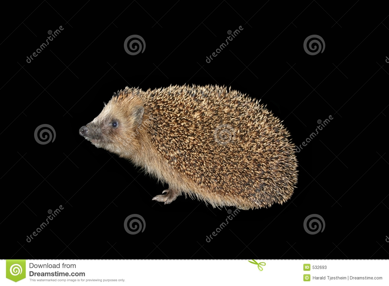 Hedgehog isolado no preto
