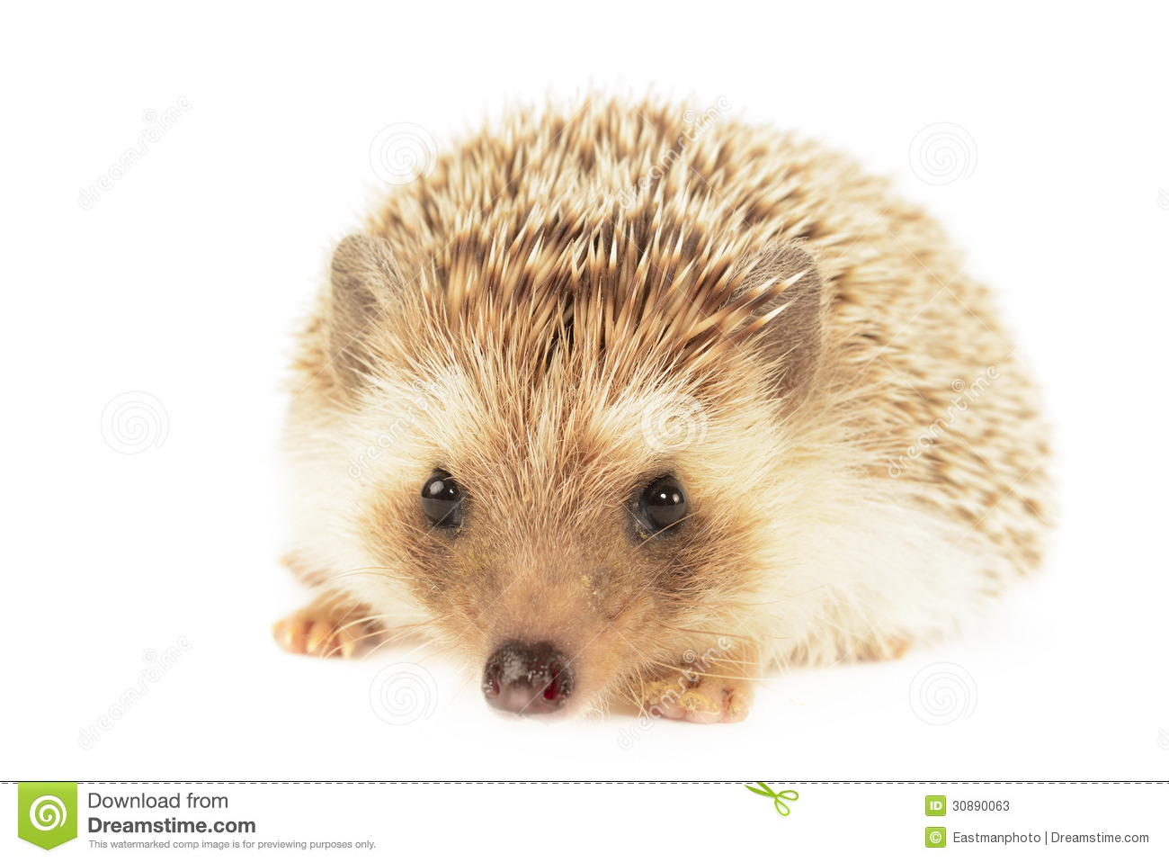 Hedgehog Stock Photos - Image: 30890063 White Parson Russell Terrier