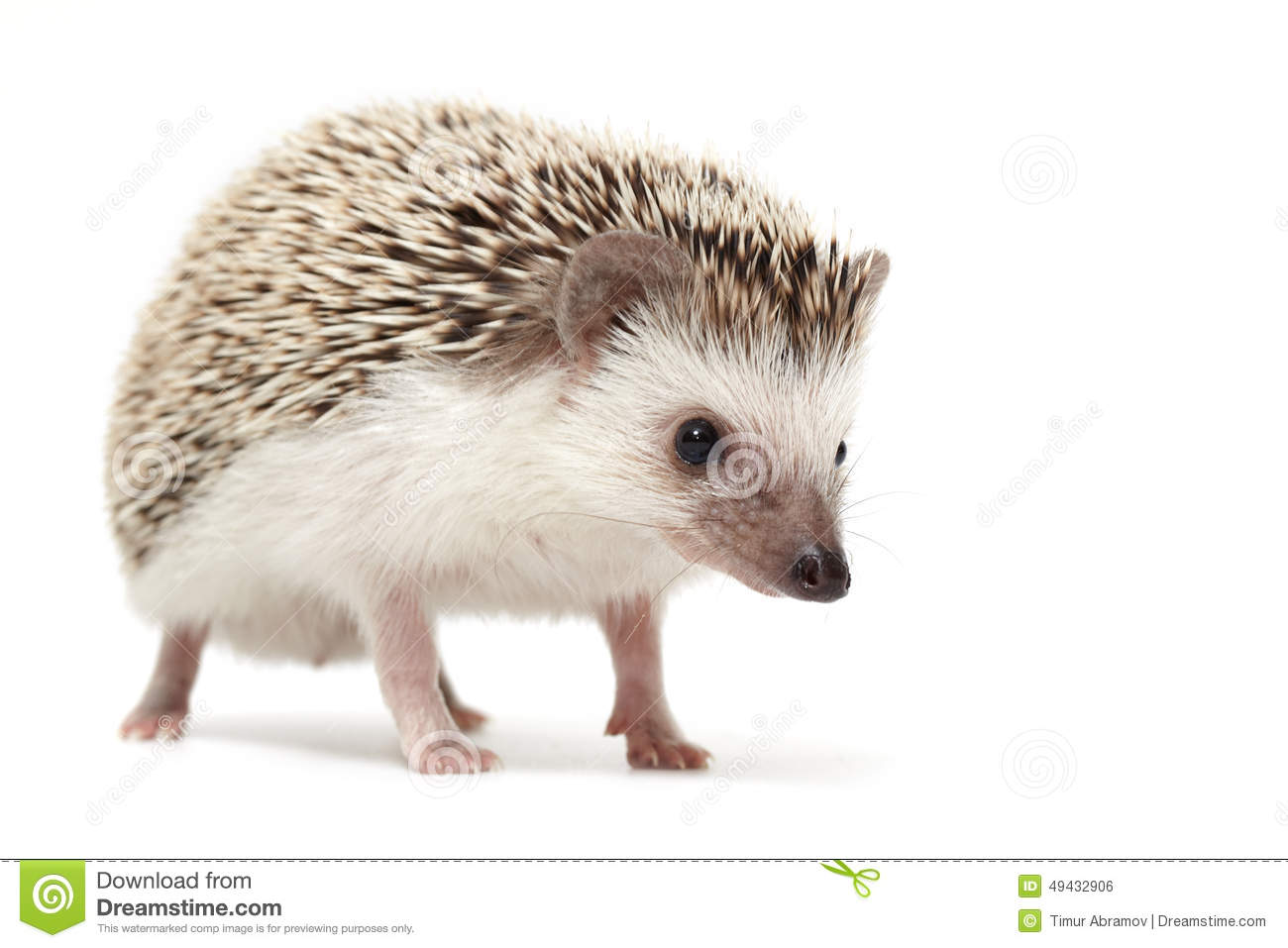 hedgehog sniffing around stock photo image 49432906. Black Bedroom Furniture Sets. Home Design Ideas