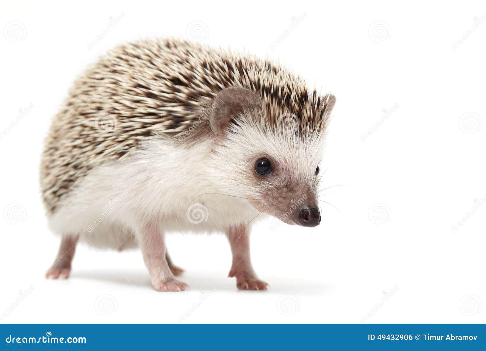 hedgehog sniffing around stock photo image 49432906. Black Bedroom Furniture Sets. Home Design Ideas