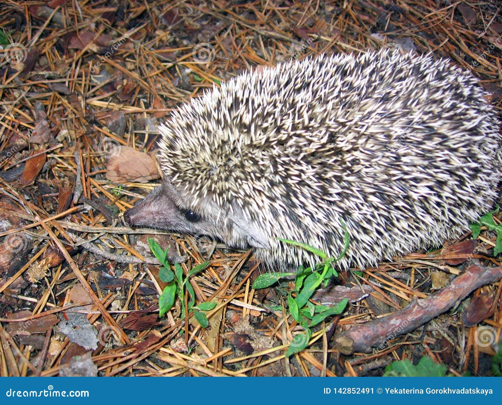 Hedgehog on spruce needles background