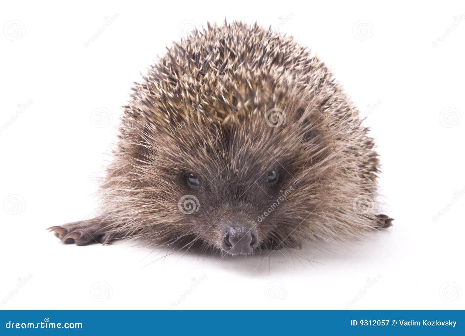 Hedgehoge