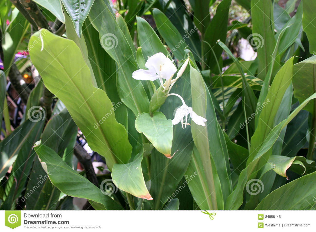 Hedychium coronarium white garland lily white ginger lily stock hedychium coronarium white garland lily white ginger lily rhizomatous ornamental perennial with large lanceolate leaves and white fragrant butterfly like izmirmasajfo
