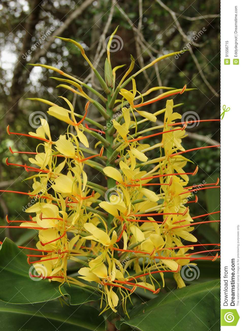 Hedychium Spicatum Stock Image Image Of Flower Indian 91556715