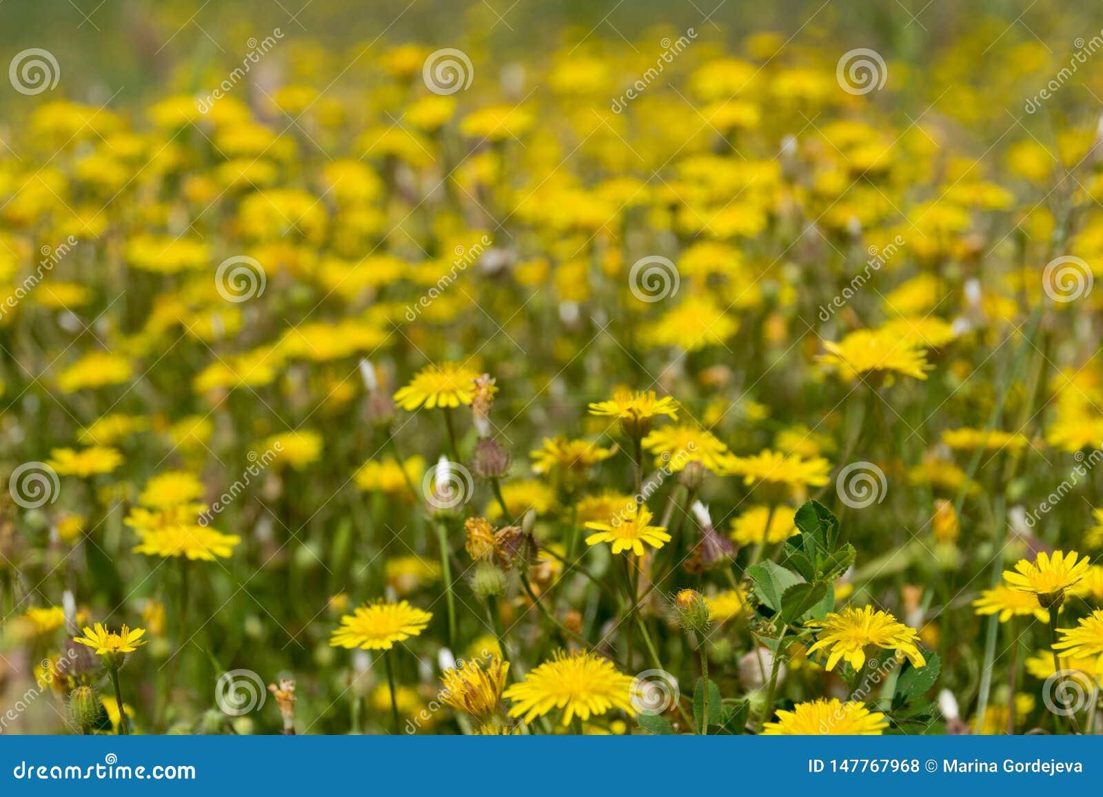 Heel wat gele paardebloemen op het de lentegebied