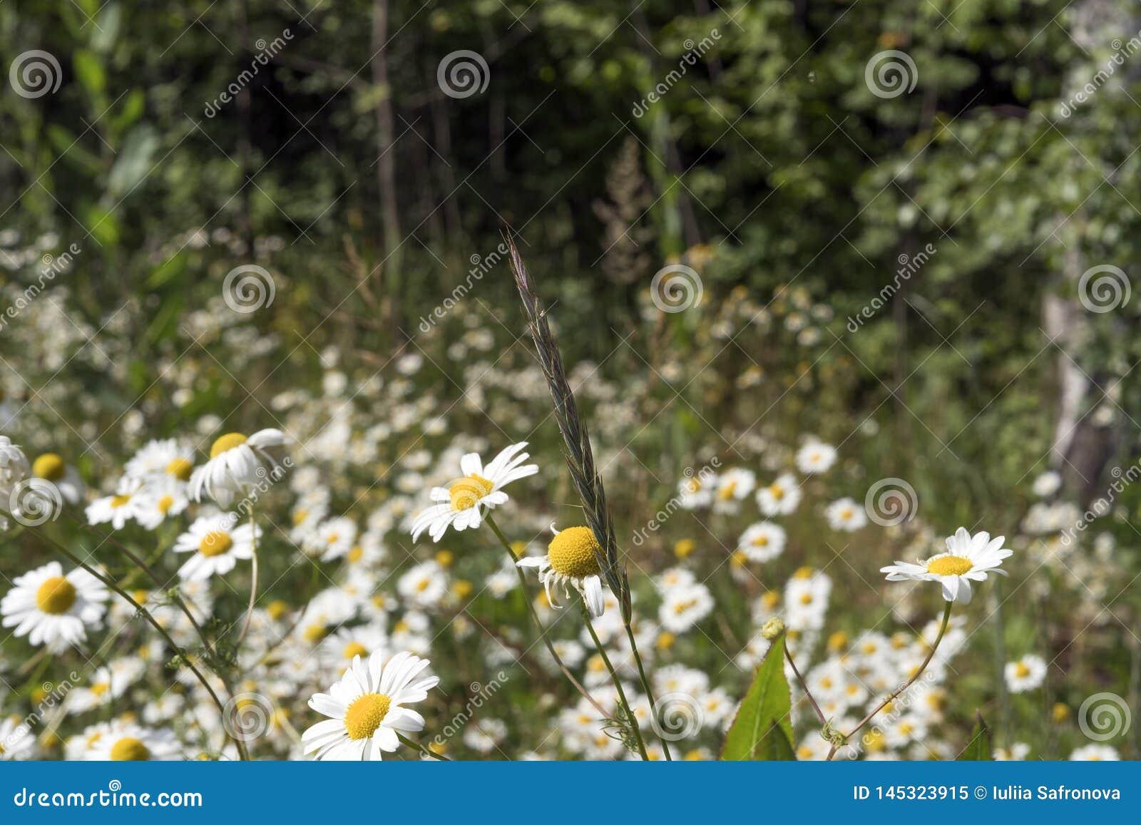 Heel wat witte gebiedskamille, Russische berk, zonnige de zomerdag