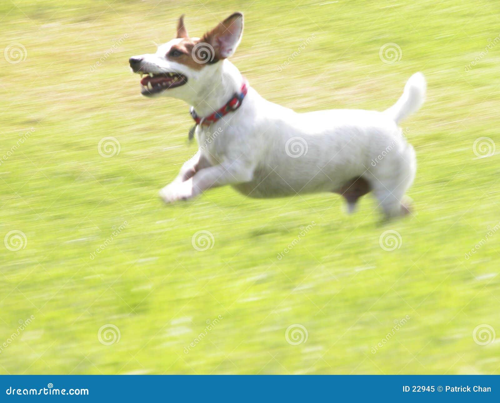 Hefboom Russell die Terrier JRT Jacob 01 in werking stelt