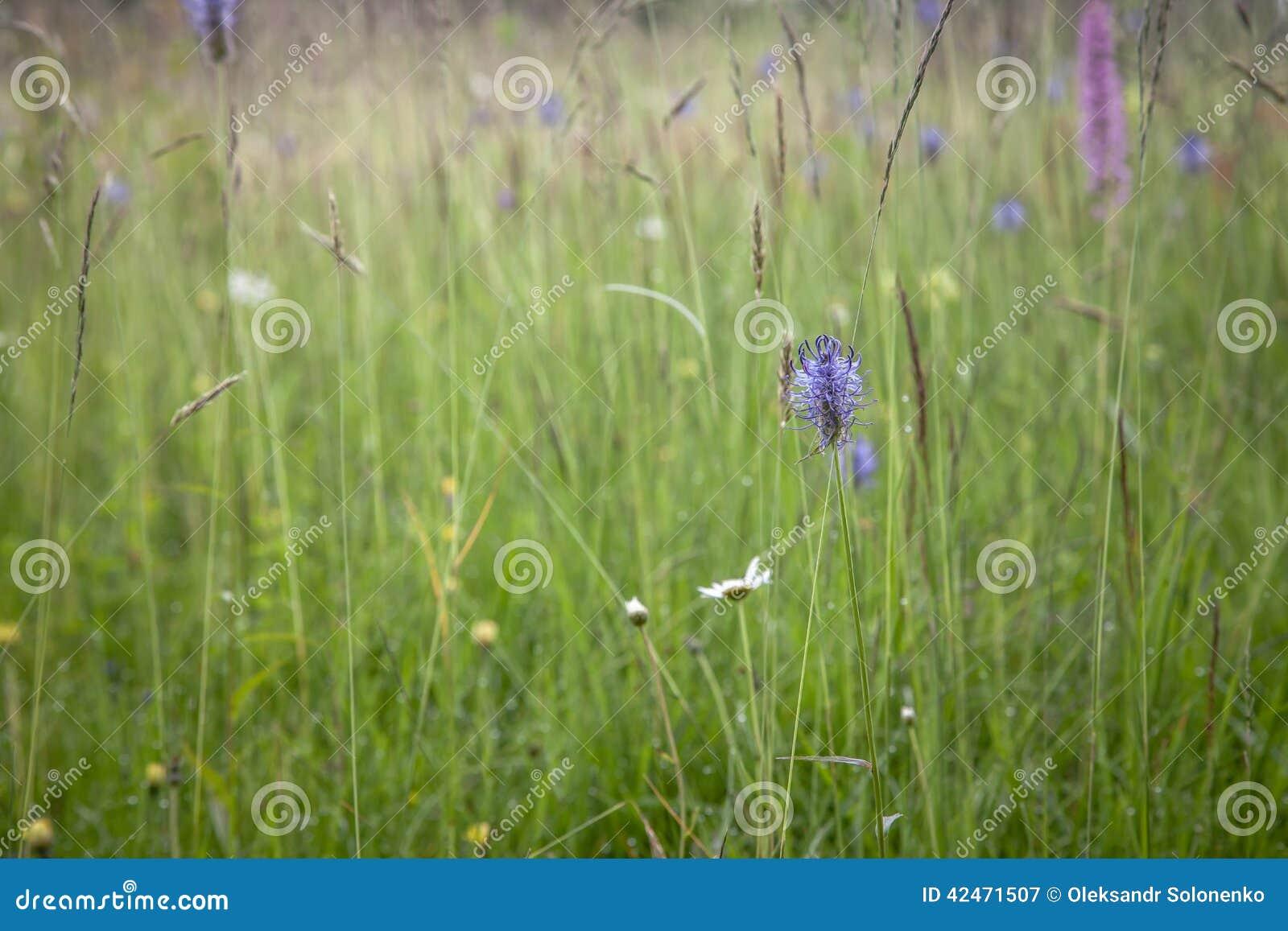 Heide blüht Hintergrund