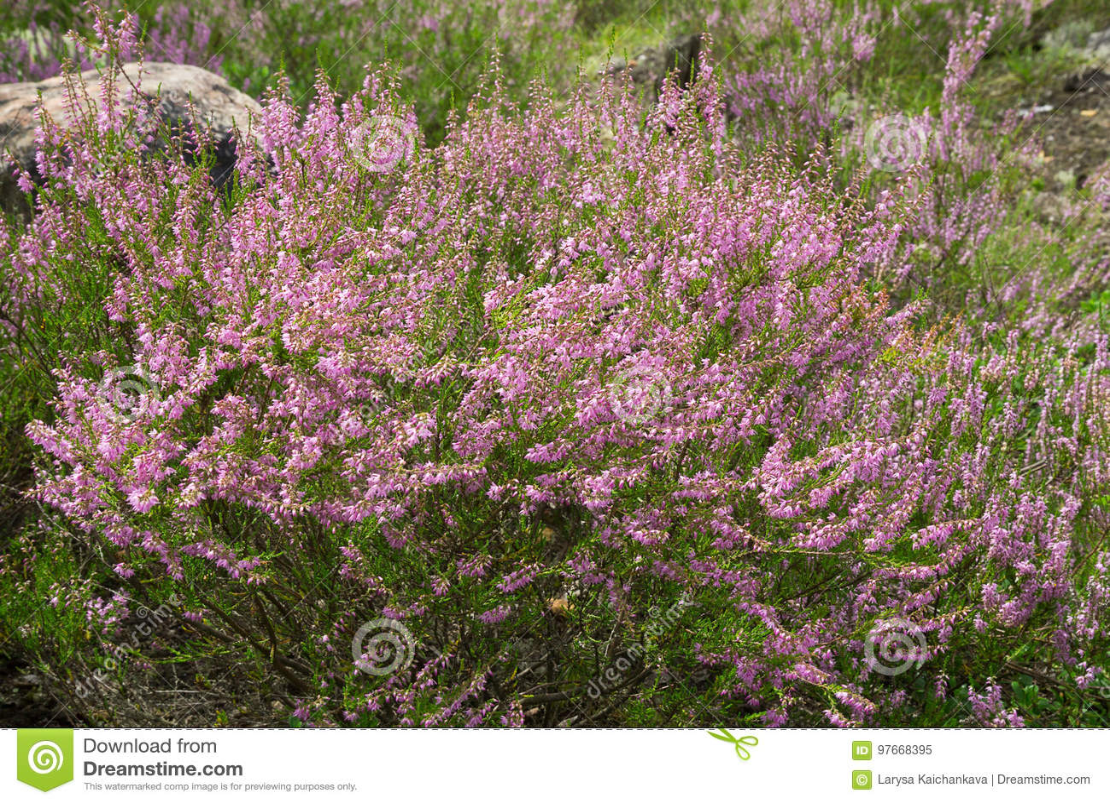 Heide purpere bloemen