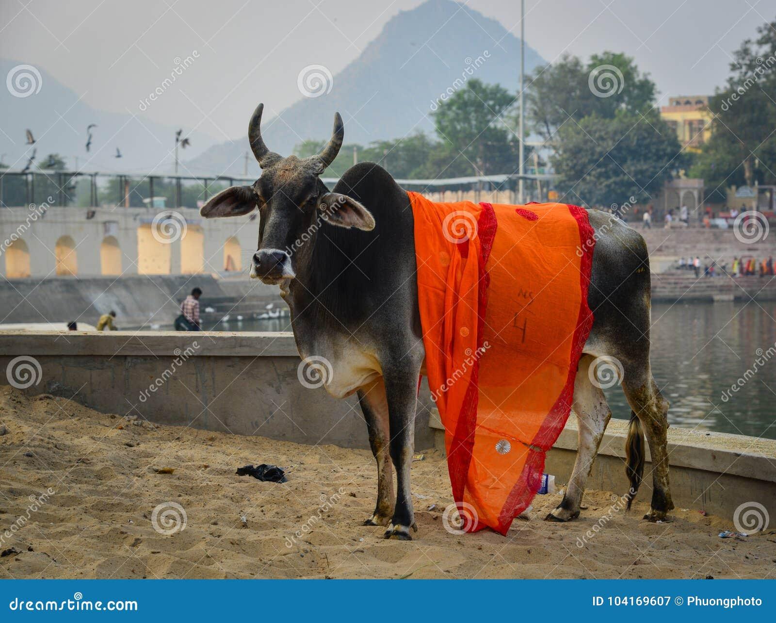 Heilige koe op straat in Pushkar, India