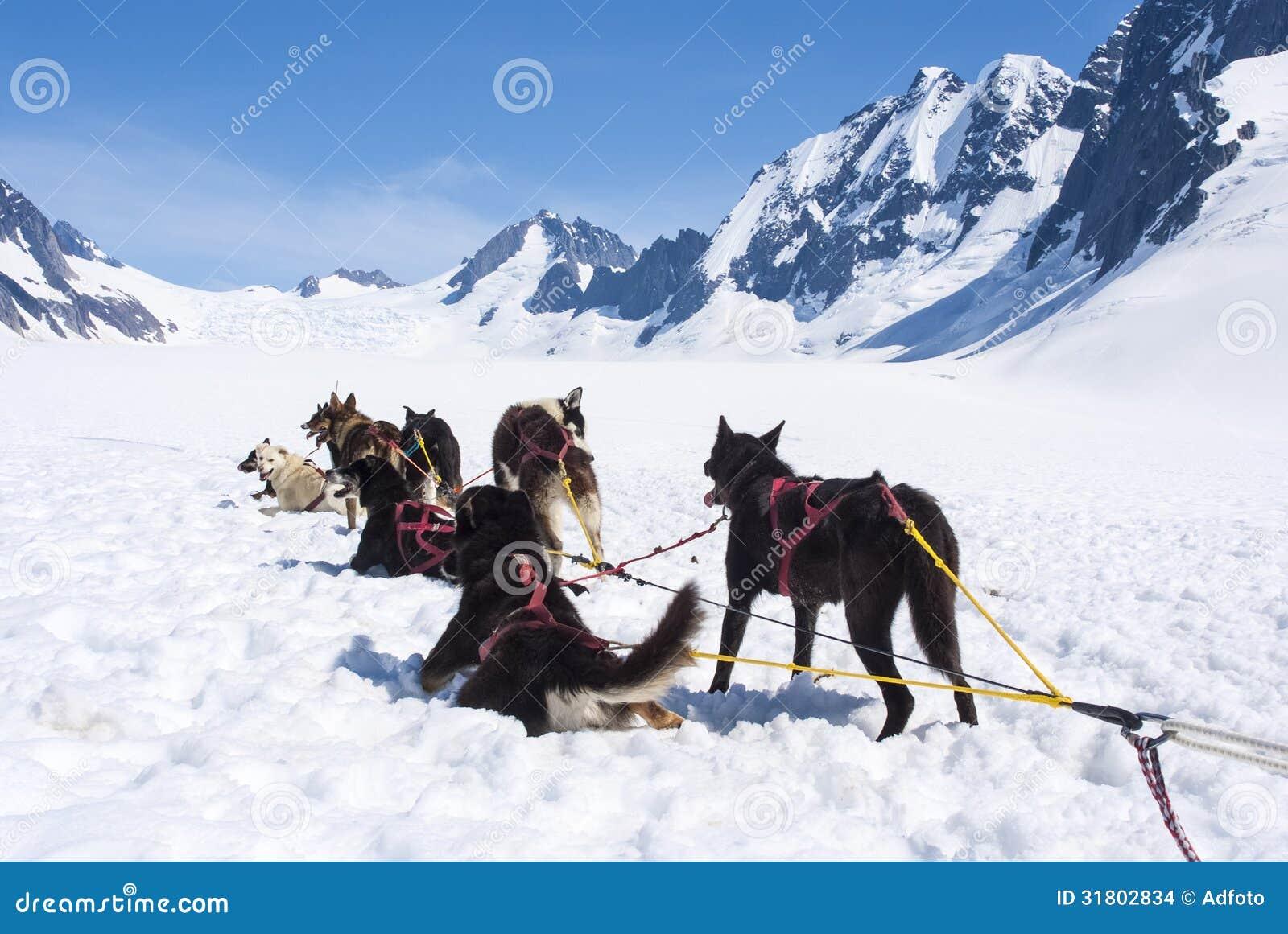 Heisere Hunde, die nach einem Rennen sich entspannen