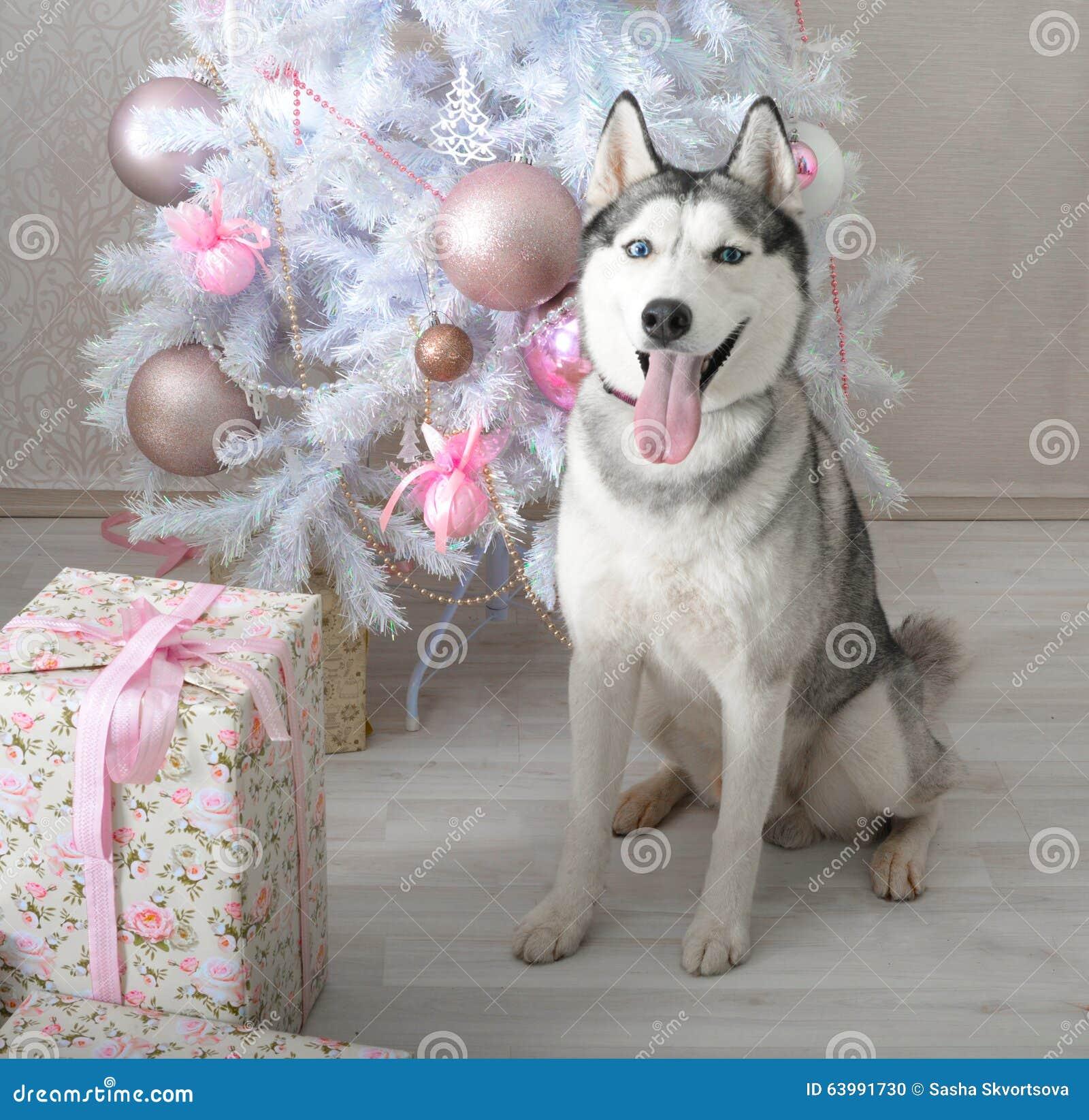Heiserer Hund Gibt Ein Geschenk Für Weihnachten Stockfoto - Bild von ...