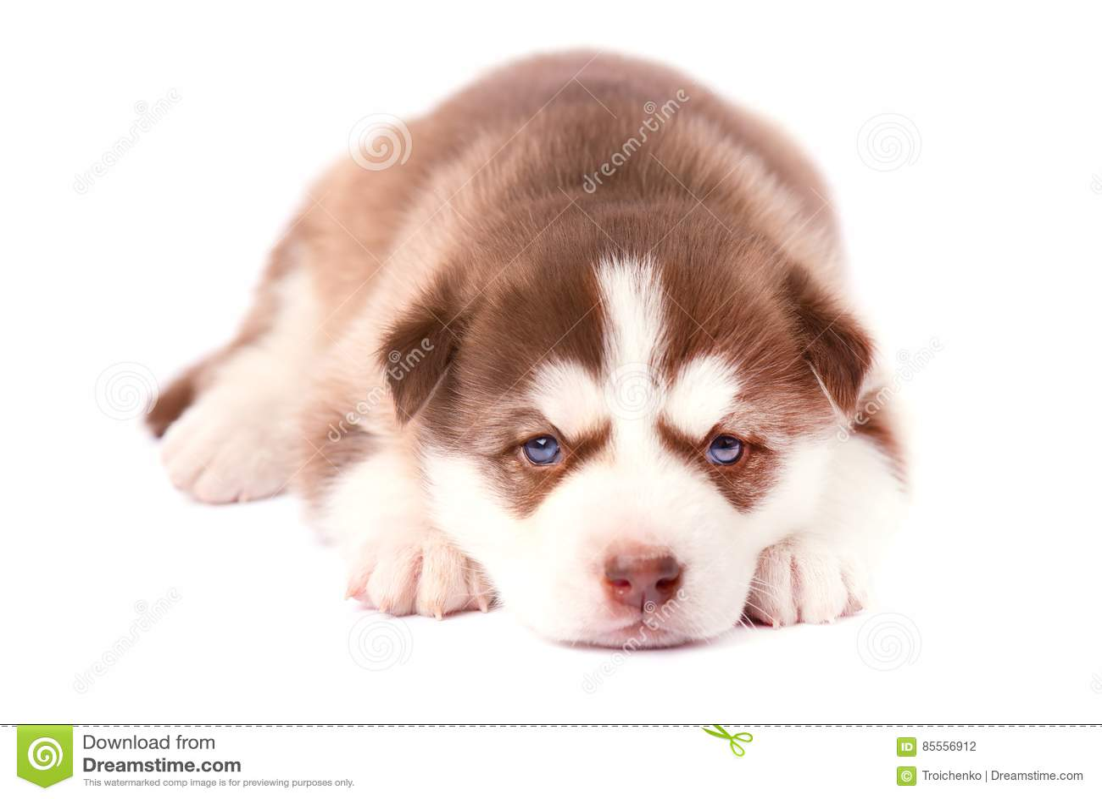 Heiserer Welpe Browns mit blauen Augen, auf weißem Hintergrund