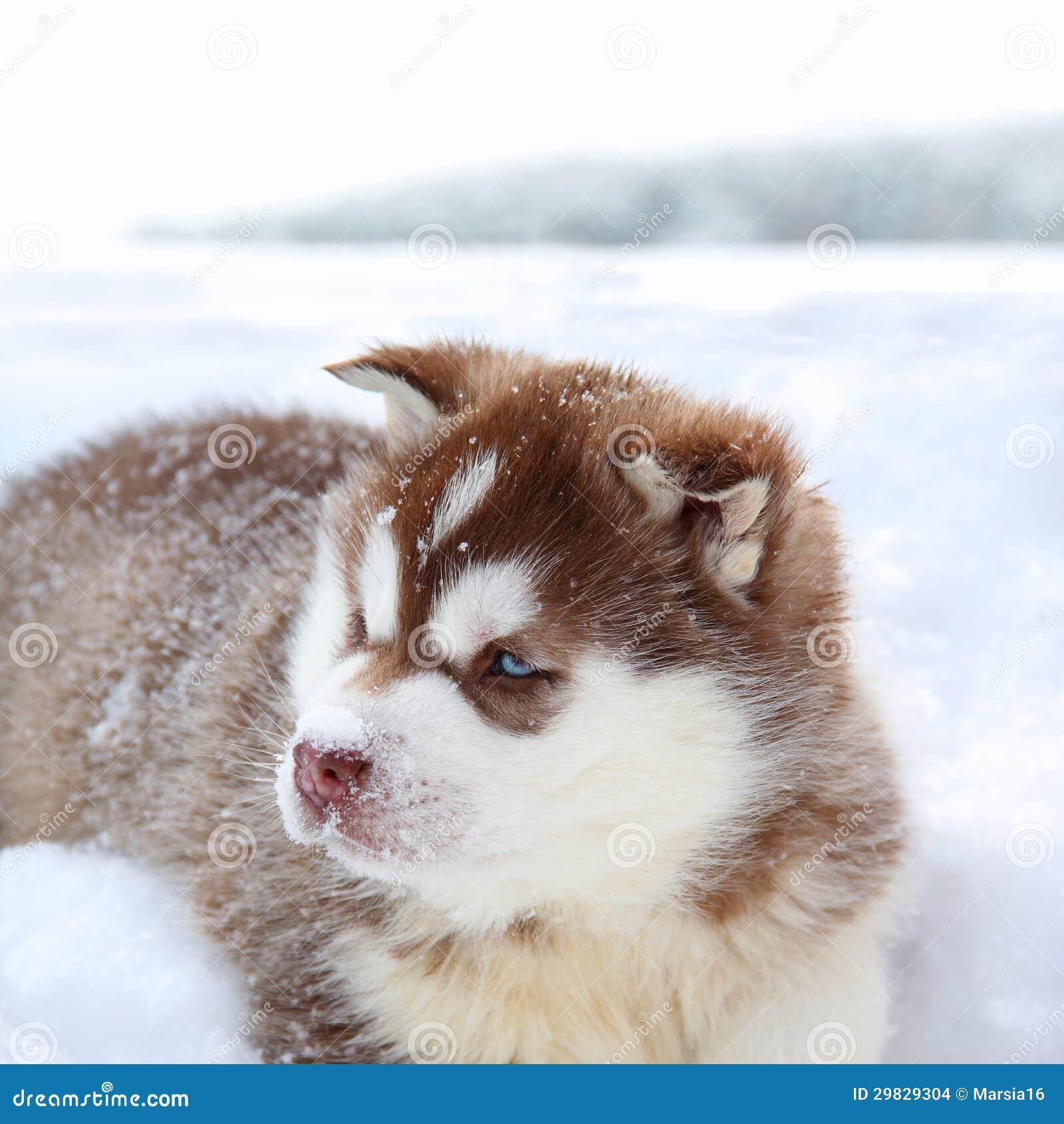 Heiserer Welpe im Schnee