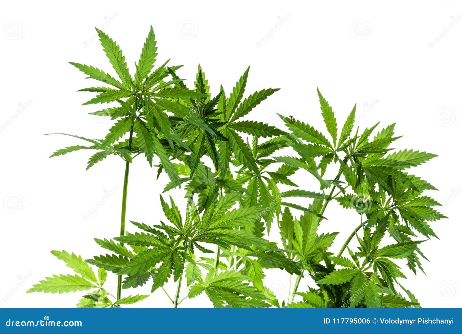 Helder aangestoken die struikgewas van marihuanainstallaties op witte achtergrond worden geïsoleerd