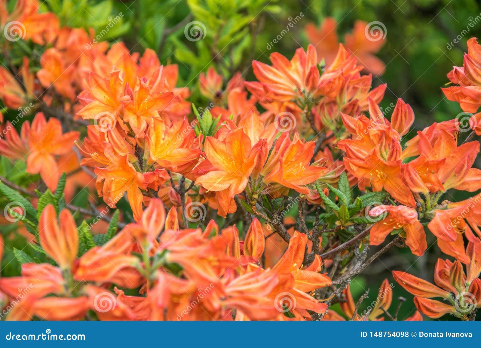 Helder oranje bloemen bloeiende rododendron op een zonnige dag