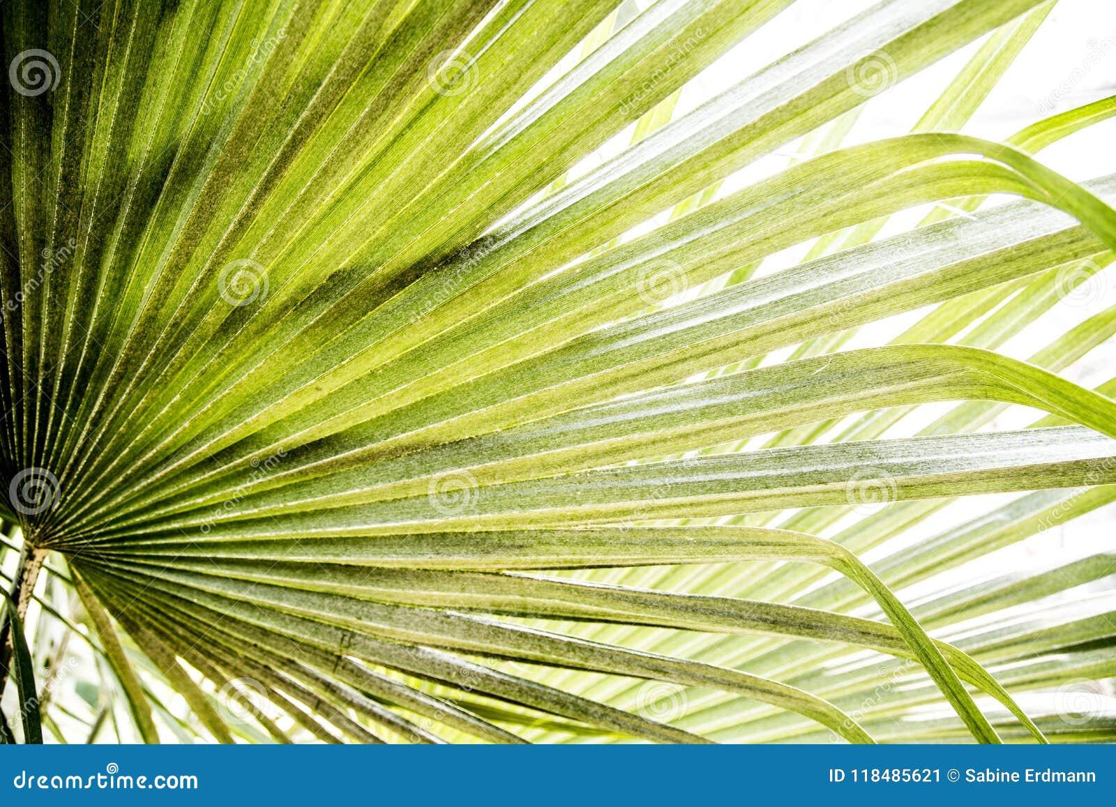 Helder palmblad