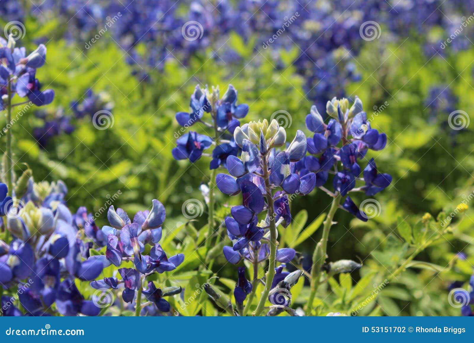 Helder Texas Bluebonnets