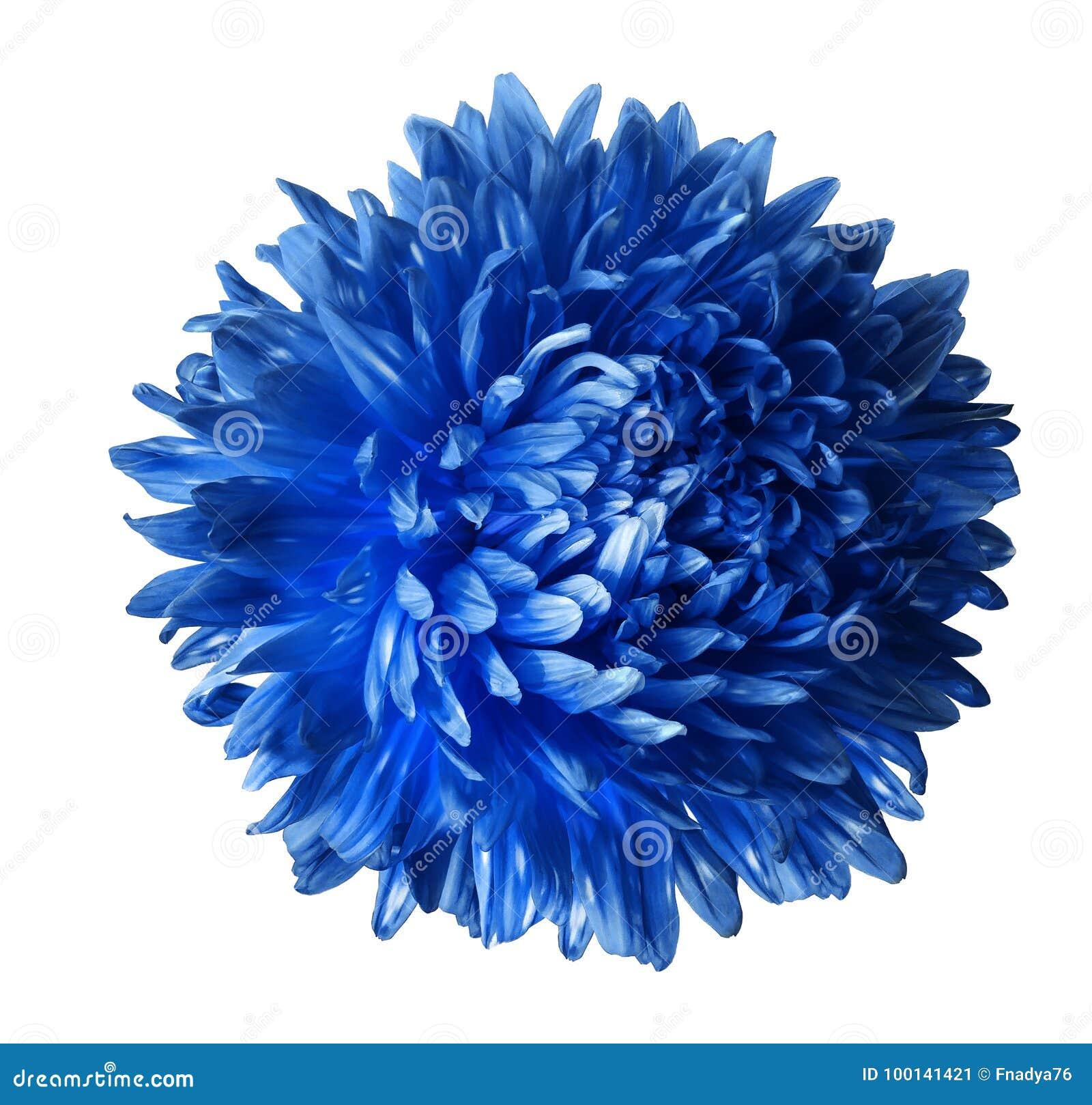 Heldere blauwe die asterbloem op witte achtergrond met het knippen van weg wordt geïsoleerd Close-up geen schaduwen