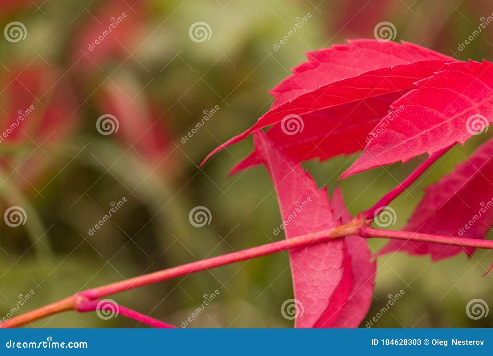 Download Heldere De Herfstbladeren Op Een Vaag Groen Gras Als Achtergrond Stock Afbeelding - Afbeelding bestaande uit vaag, uiteinden: 104628303