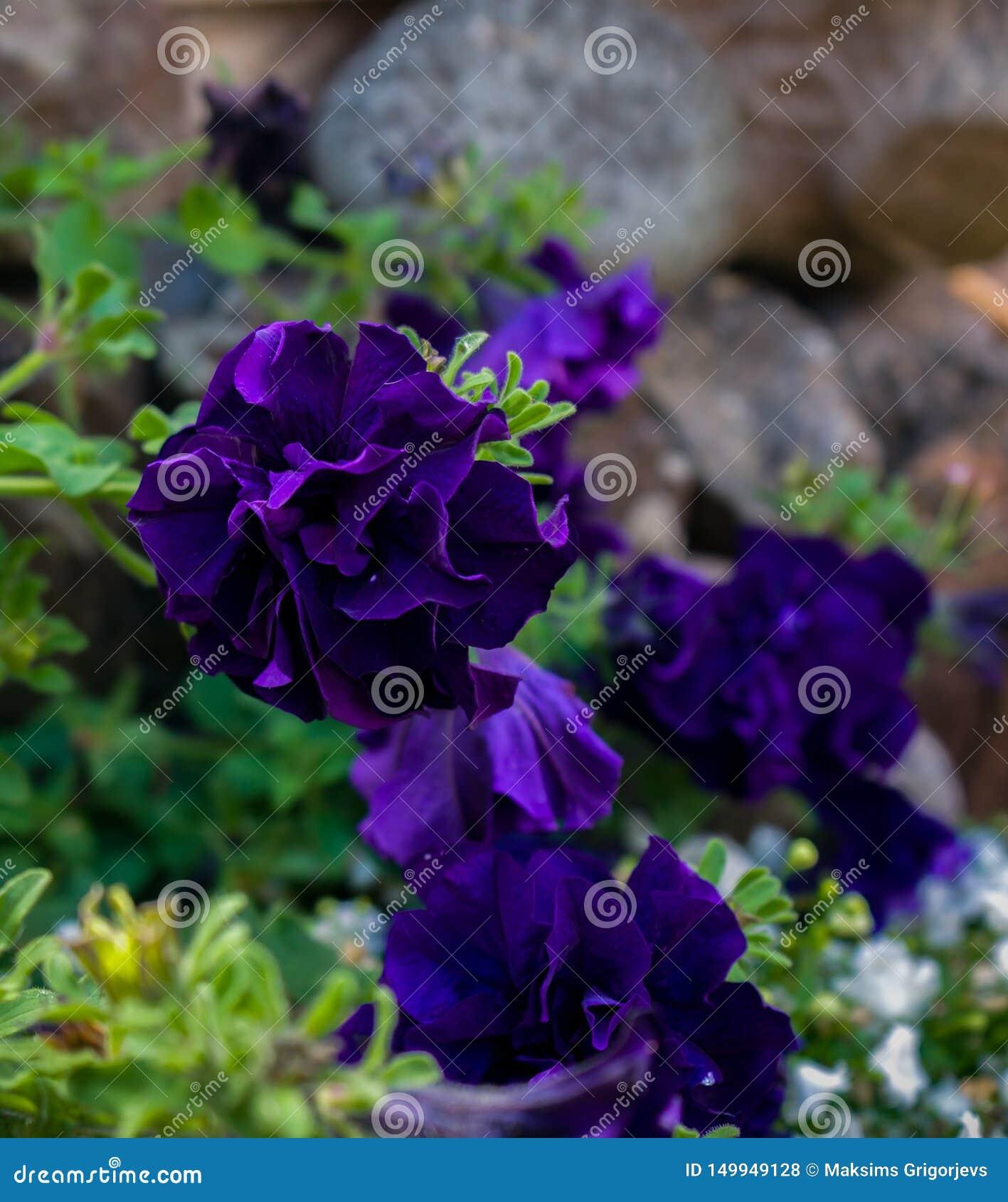 Heldere donkere violette dichte omhooggaand van de petuniabloem