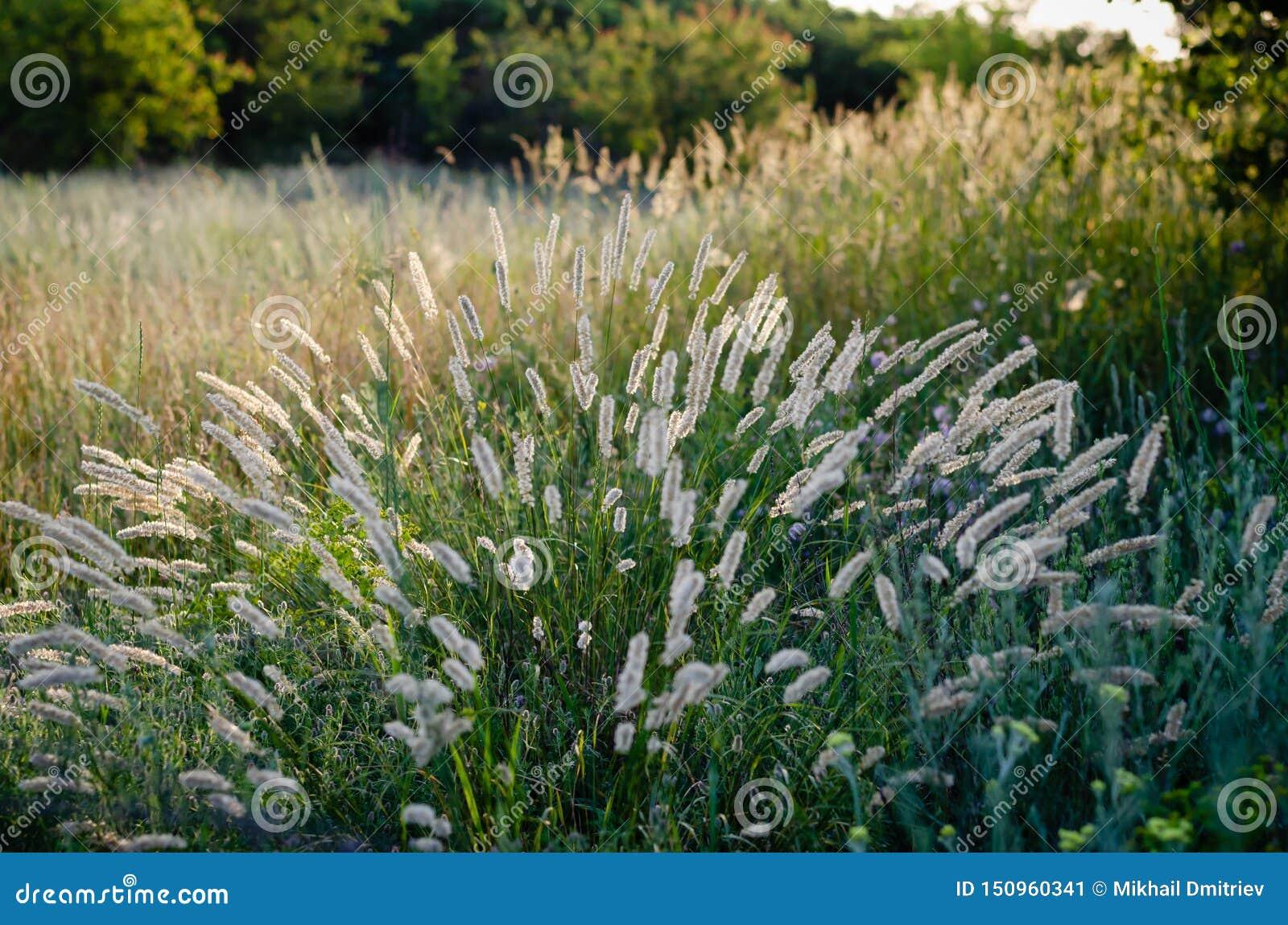 Heldere duidelijke aartjes in het ochtendzonlicht op de achtergrond van een de zomergebied van wilde kruiden Zachte nadruk