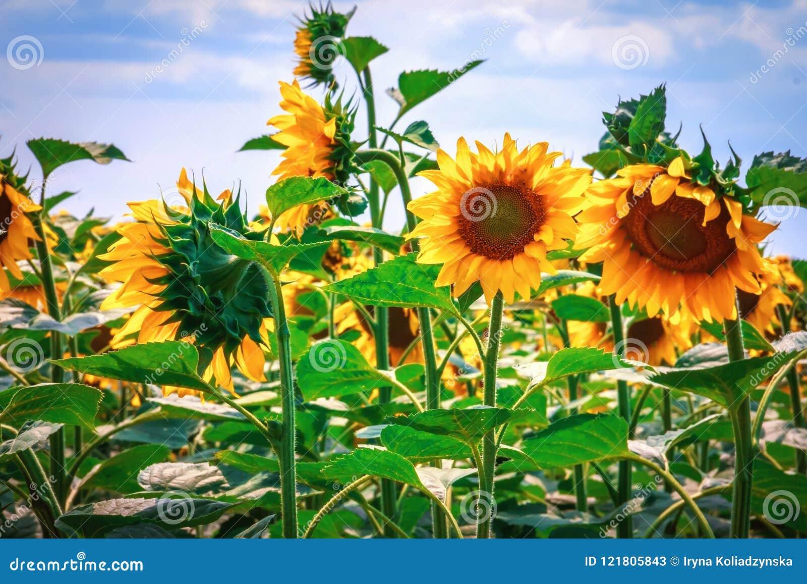 Heldere gele bloem van een zonnebloem tegen een blauwe hemel op een sunn