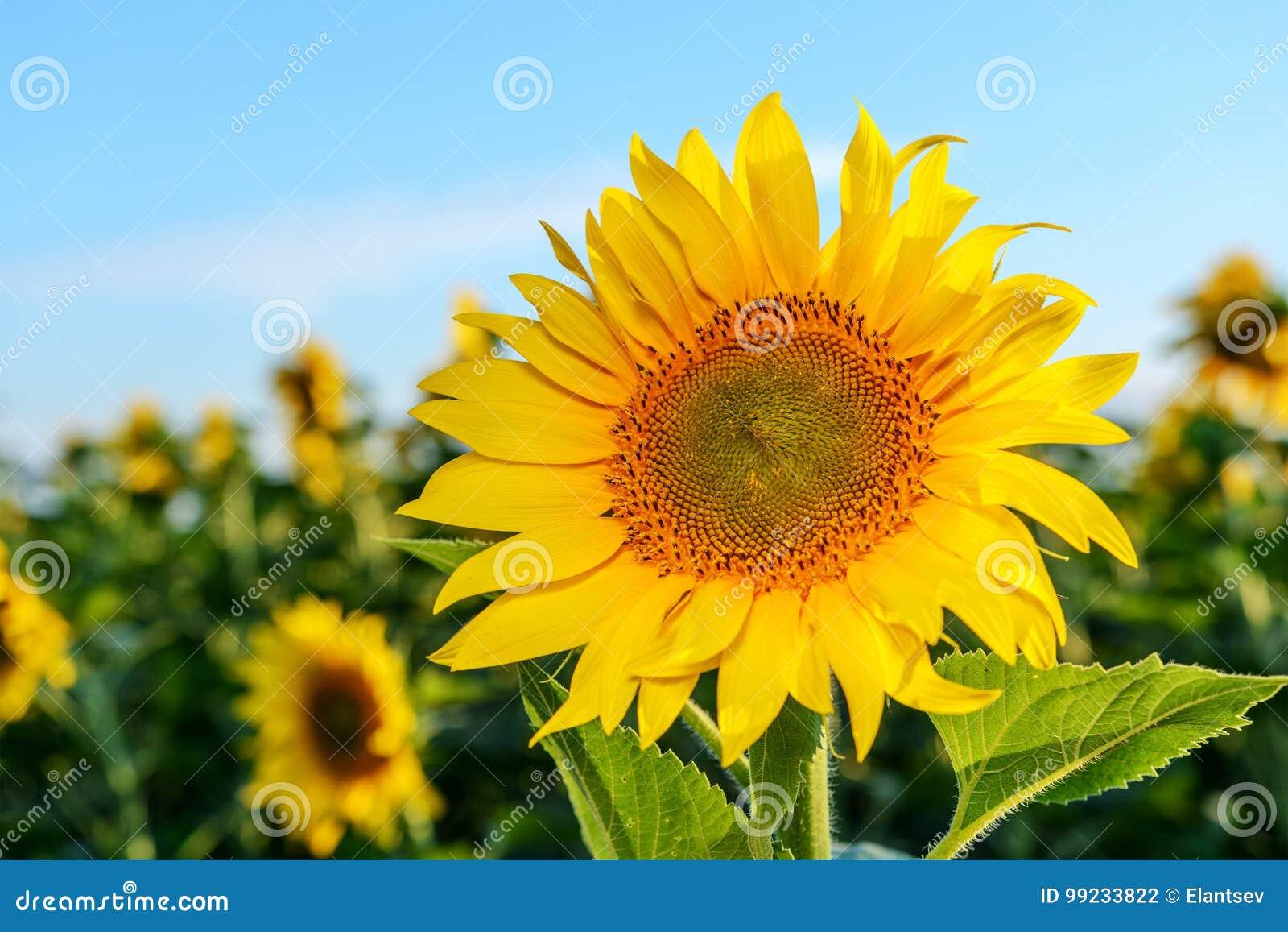 Heldere gele, oranje zonnebloembloem op zonnebloemgebied
