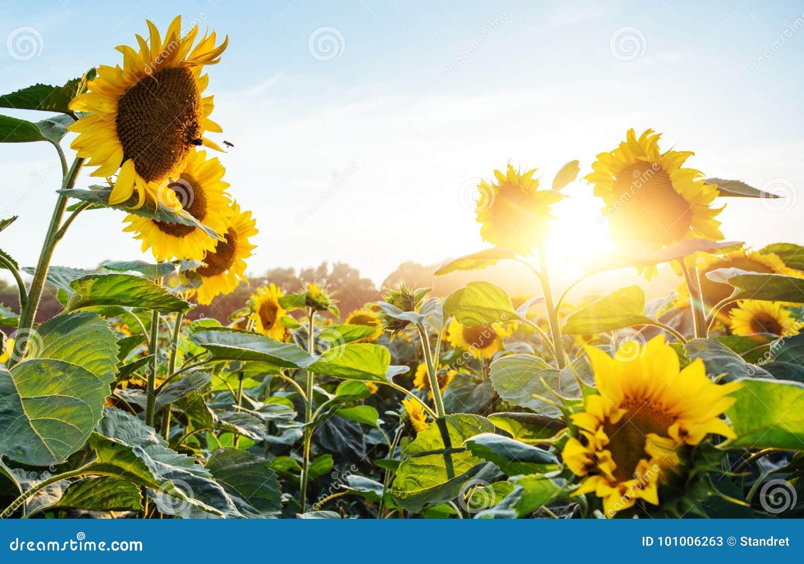 Heldere gele, oranje zonnebloembloem op zonnebloemgebied Mooi landelijk landschap van zonnebloemgebied in de zonnige zomer