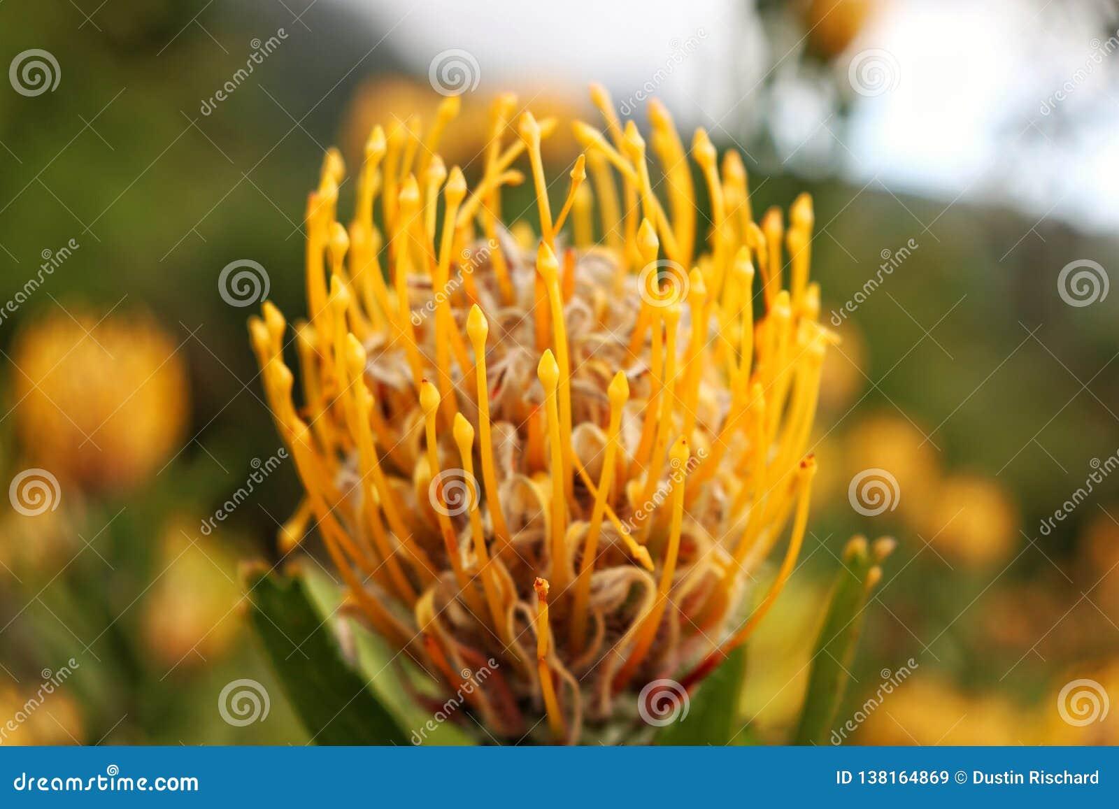 Heldere gele proteabloem