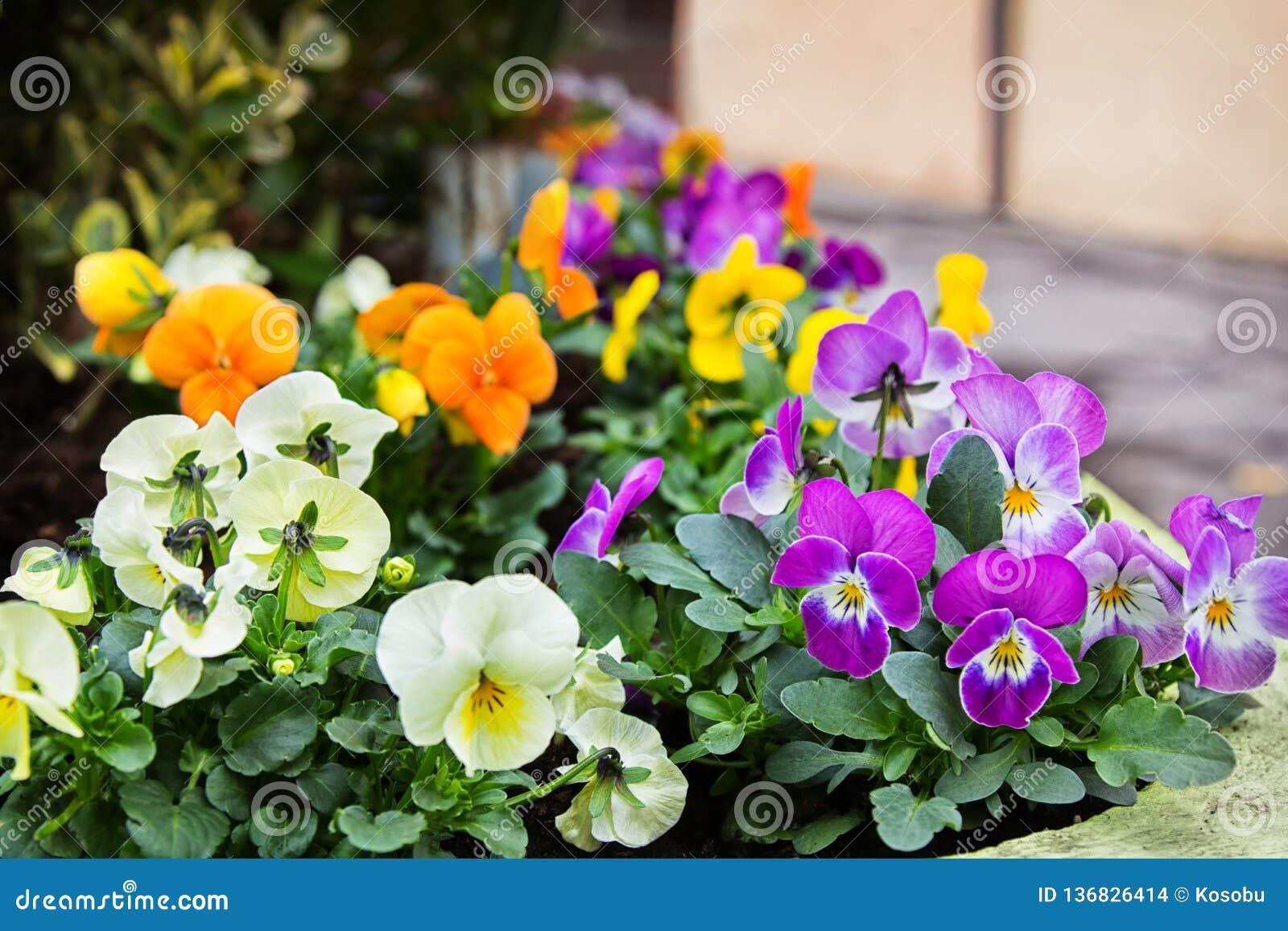Heldere het hart-gemak van altviooltricolor bloemen voor het tuinieren
