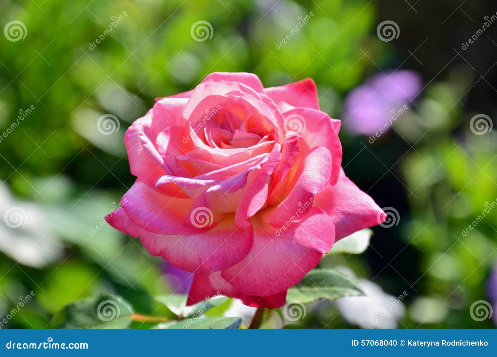 Heldere roze nam toe