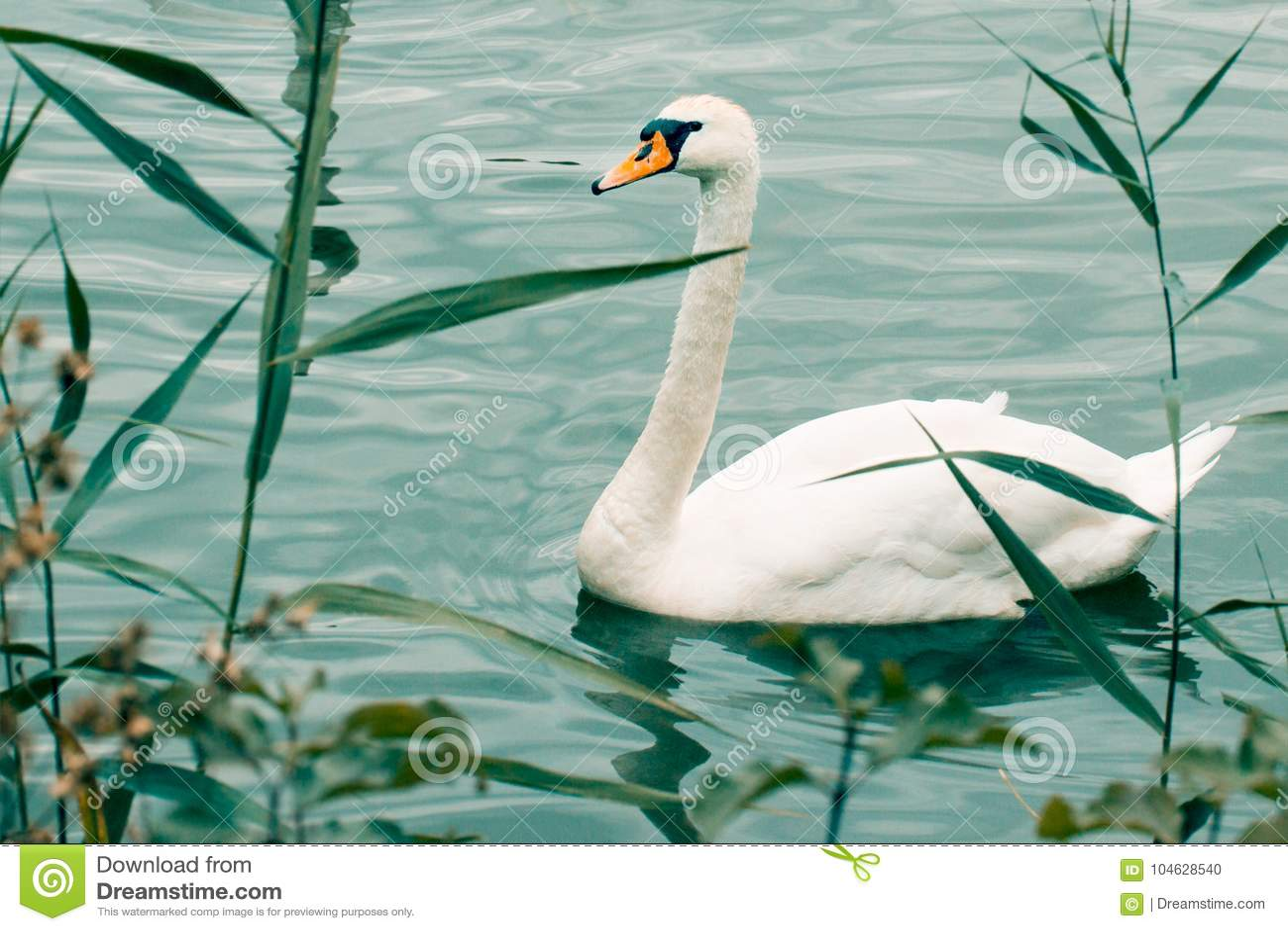 Download Heldere Witte Zwaan Op Blauw Water Stock Foto - Afbeelding bestaande uit nave, sinaasappel: 104628540