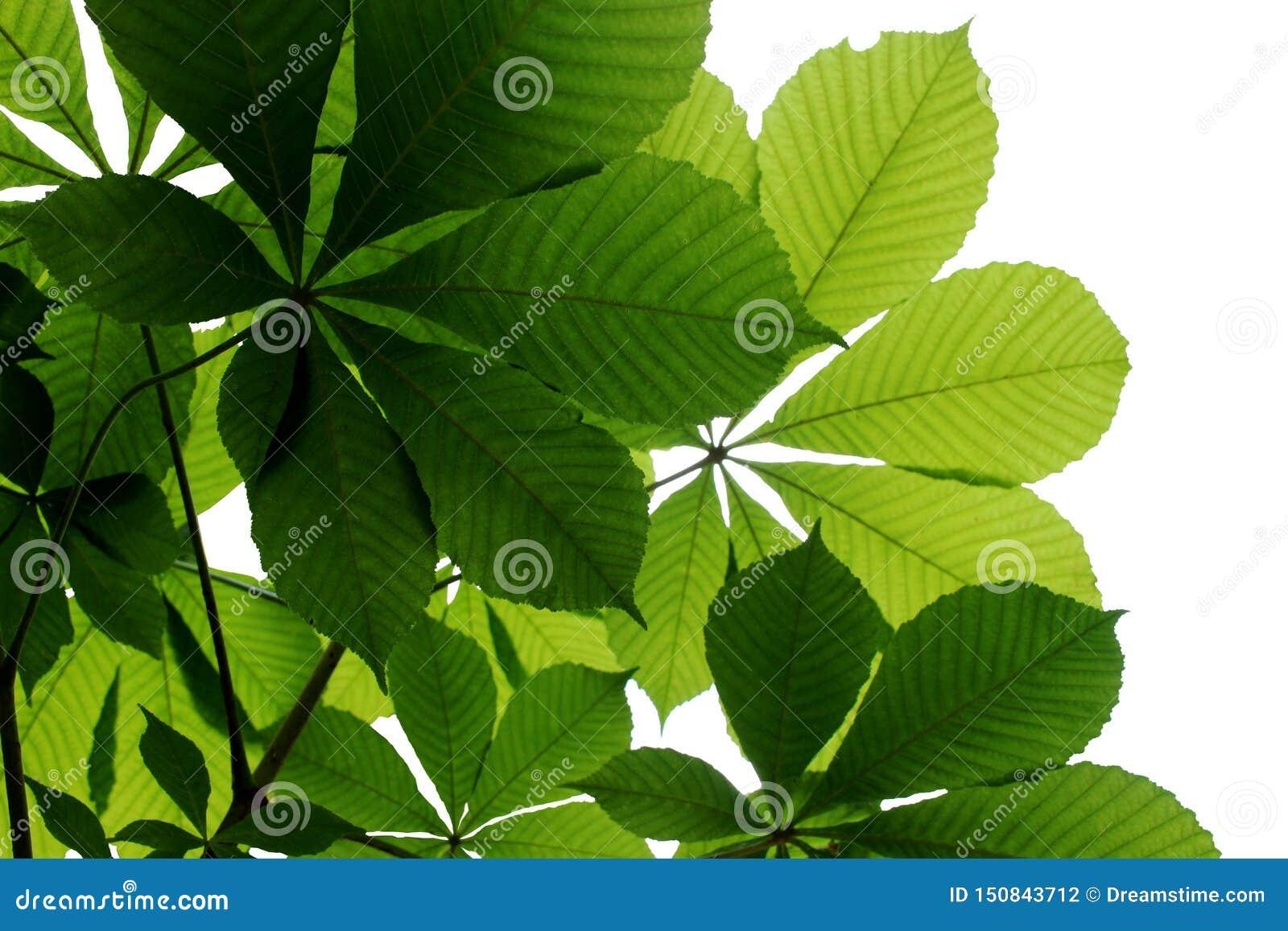 Heldergroene kastanjebladeren op een witte achtergrond