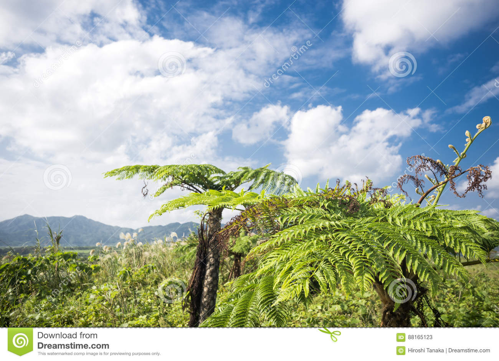 Helecho de árbol espinoso