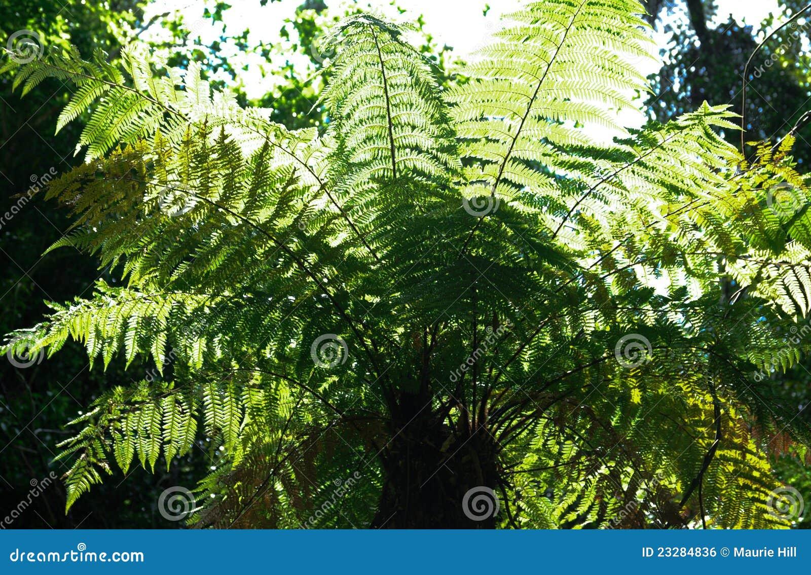 Helecho de árbol - puesto a contraluz