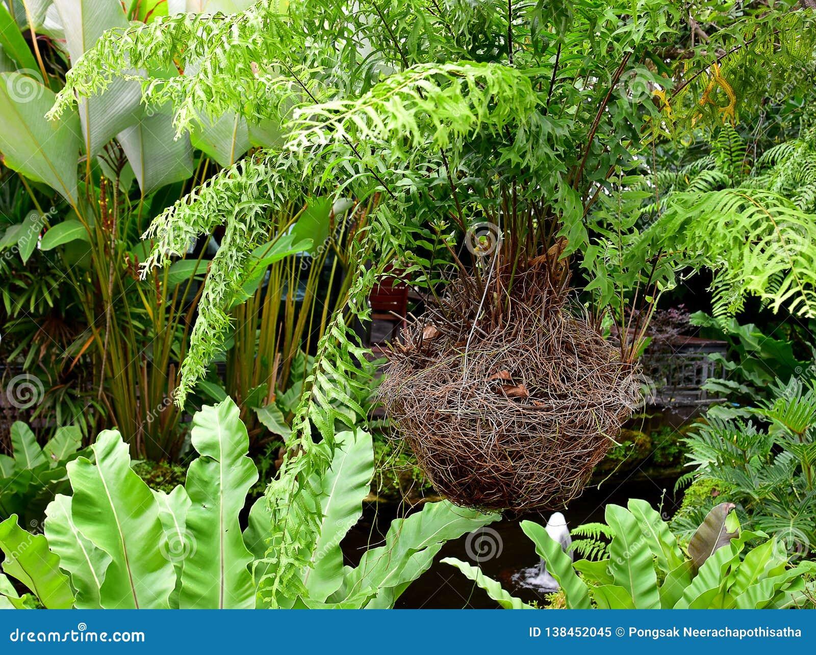 Helecho verde colgante del hueso de pescados en la cesta de la jerarquía del pájaro