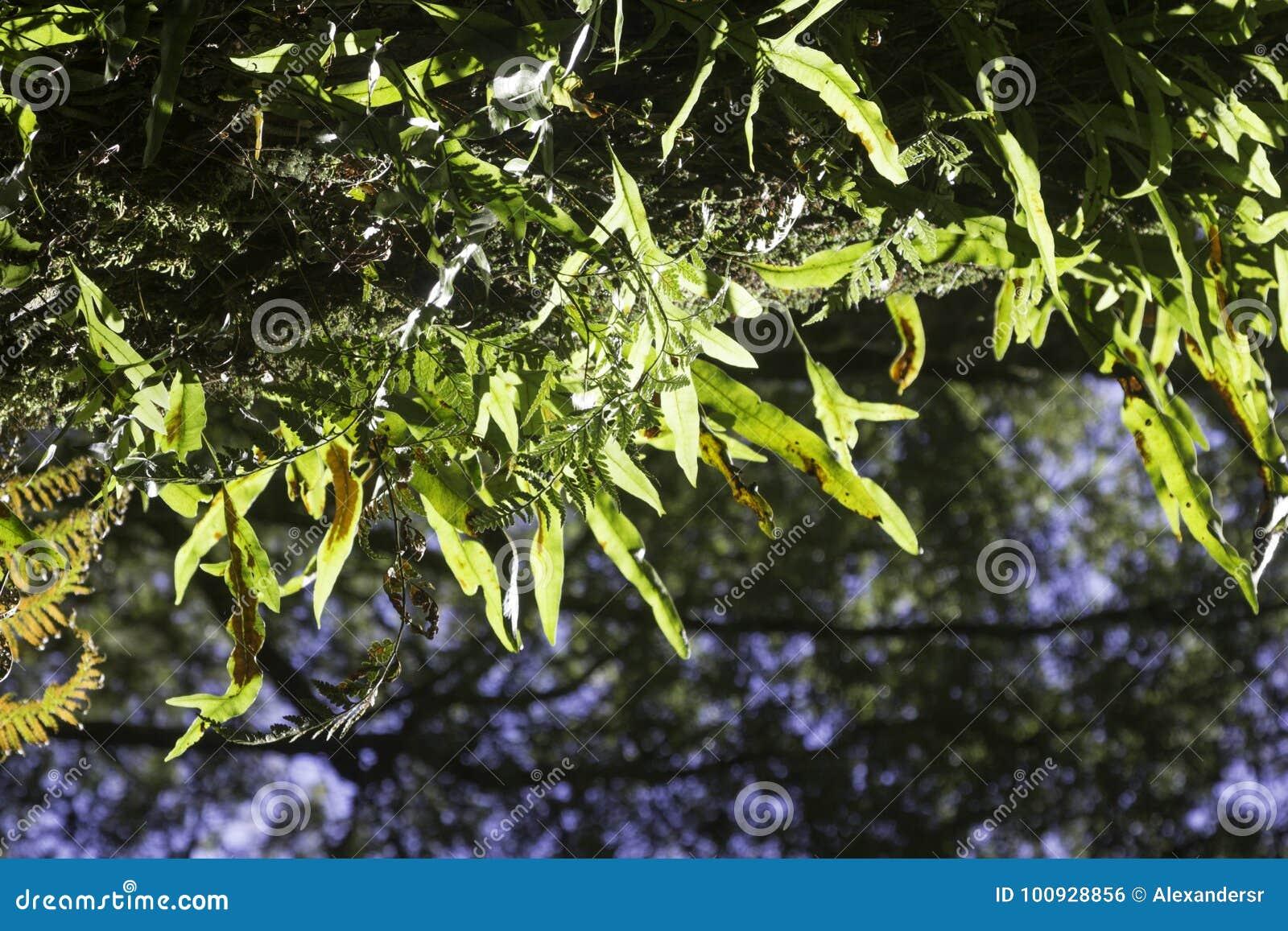 Helechos hermosos en el bosque y la sol Australia agradable