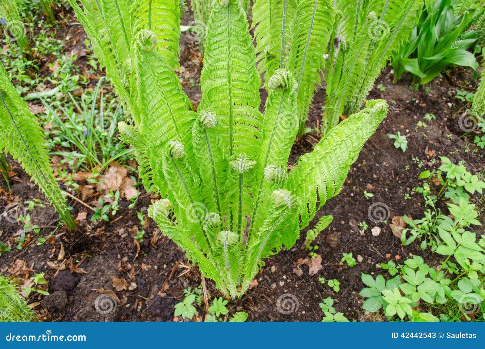 Helechos verdes torcidos jovenes en jardín