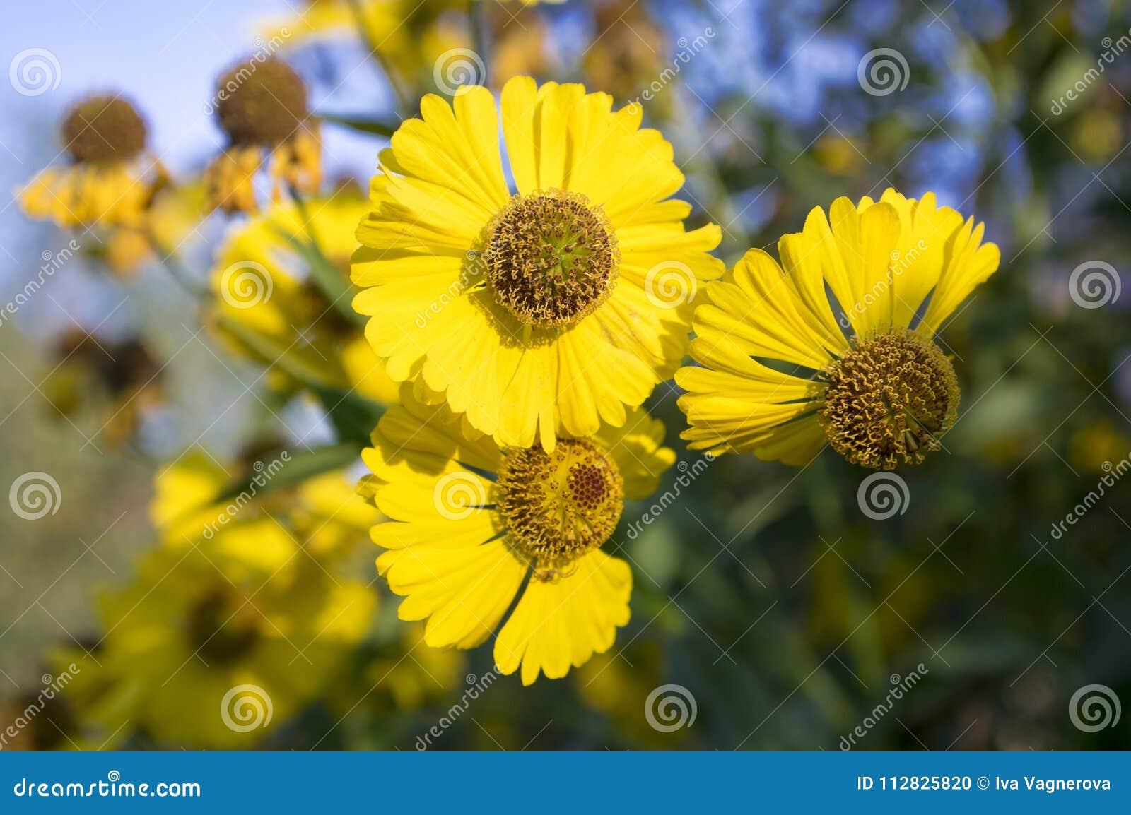 Helenium Autumnale Common Sneezeweed In Bloom Bunch Of Yellow