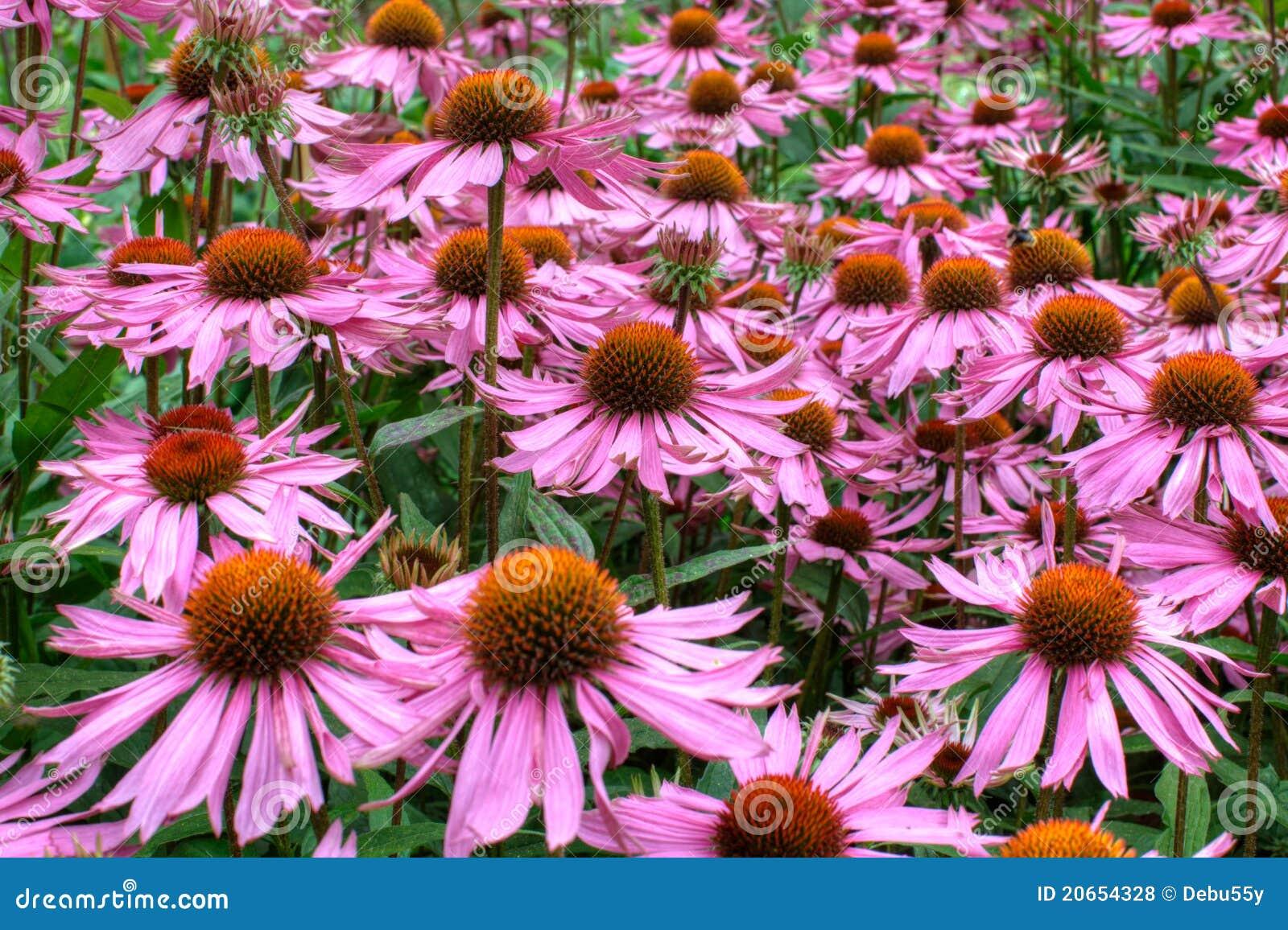 Large daisy-like cone flowers.