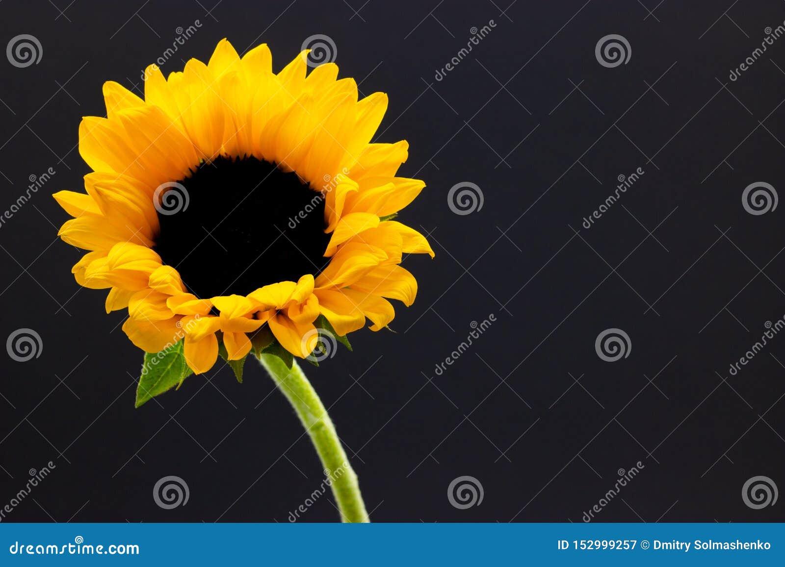 Helianthus, decorative sunflower flower on a dark background floral background
