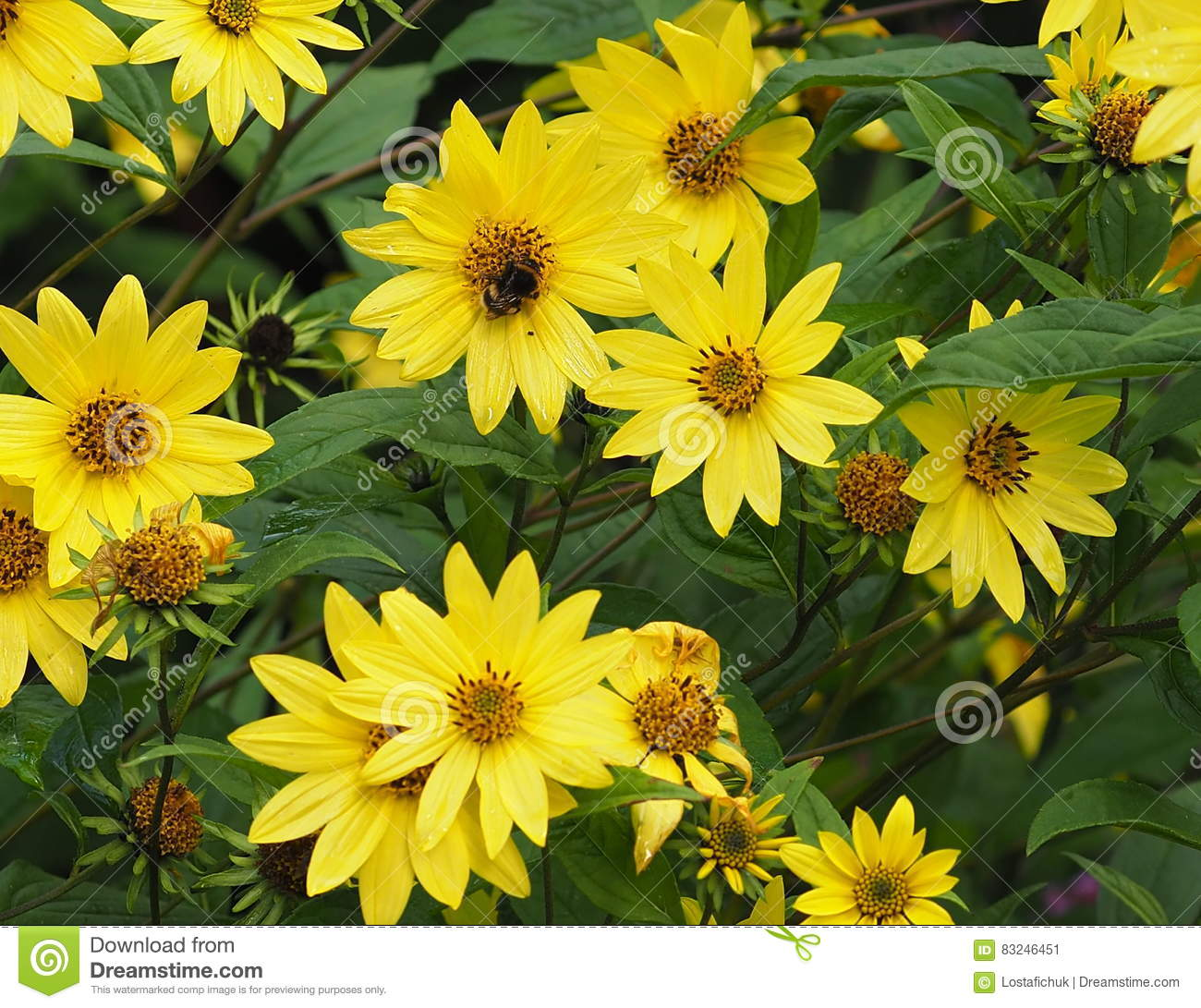 Helianthus Variety Or Yellow Daisy Like Flower Stock Image Image