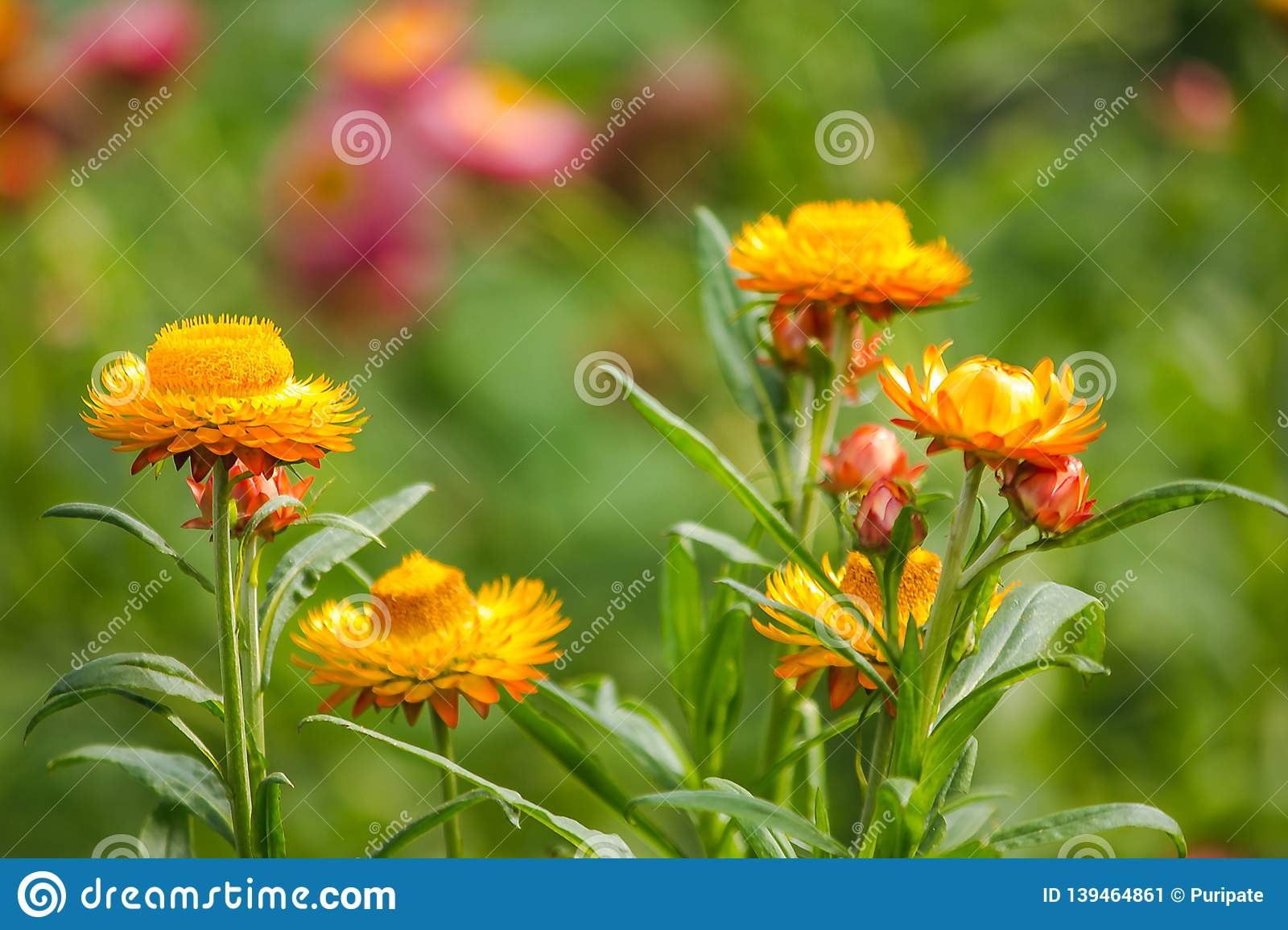 Helichrysum bracteatum is a flower that can last for a long time.